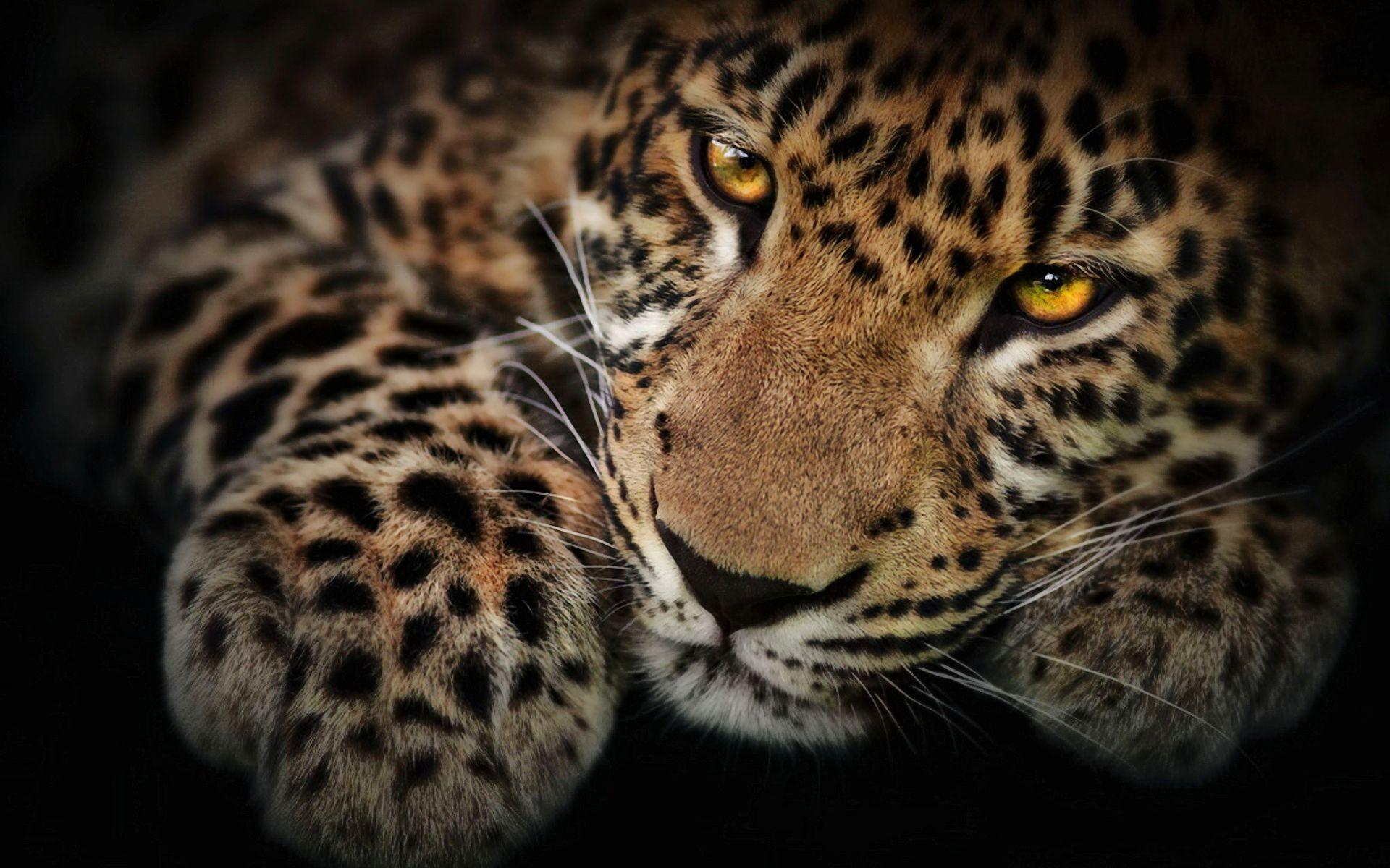 … Black Leopard Wallpaper. Download