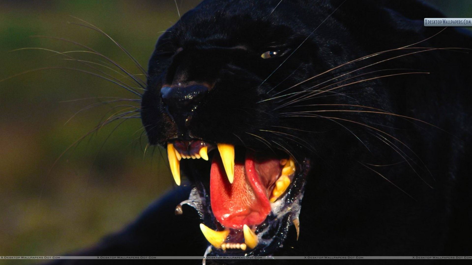 "You are viewing wallpaper titled ""Enraged, Black Leopard"" …"
