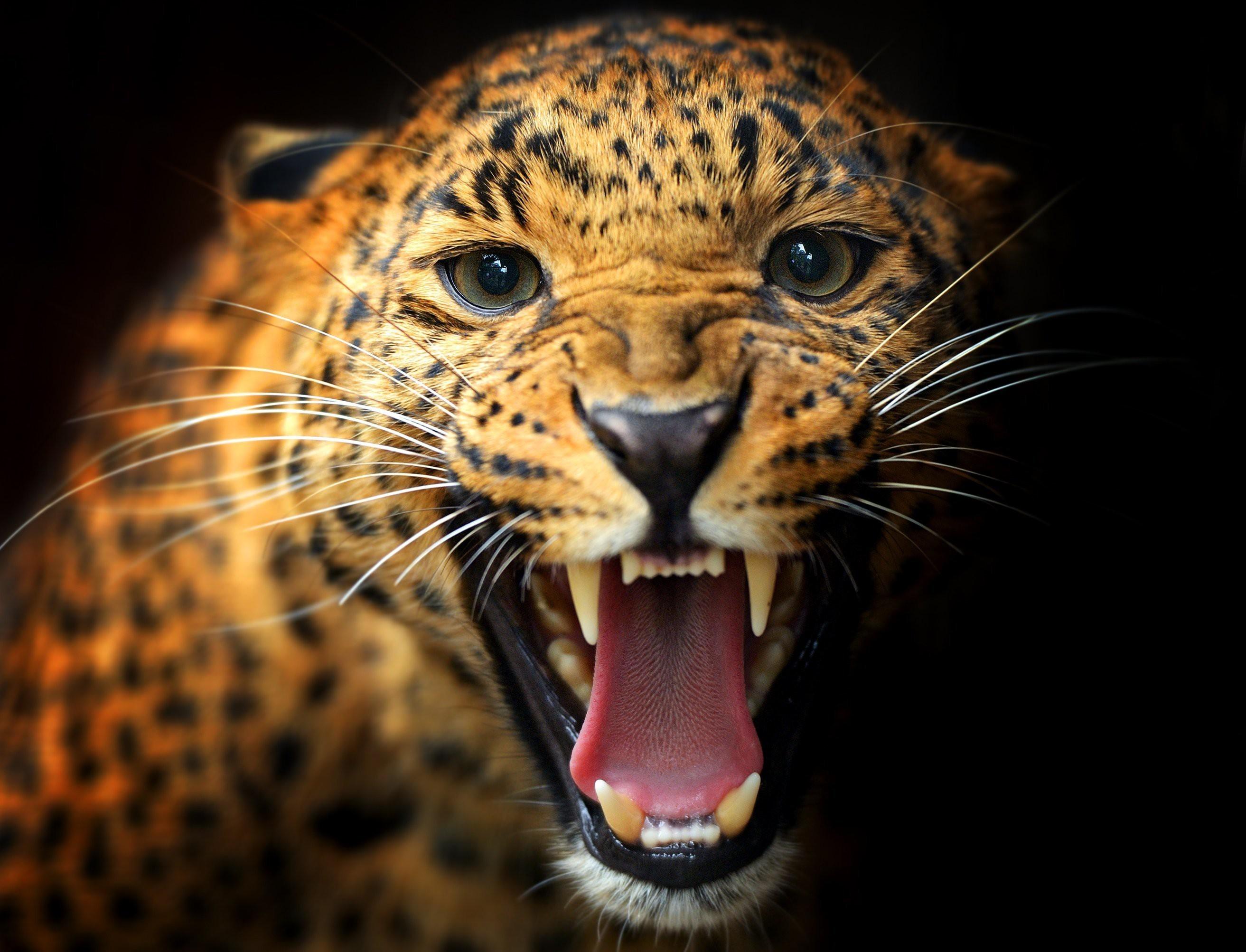 66 Black Leopard