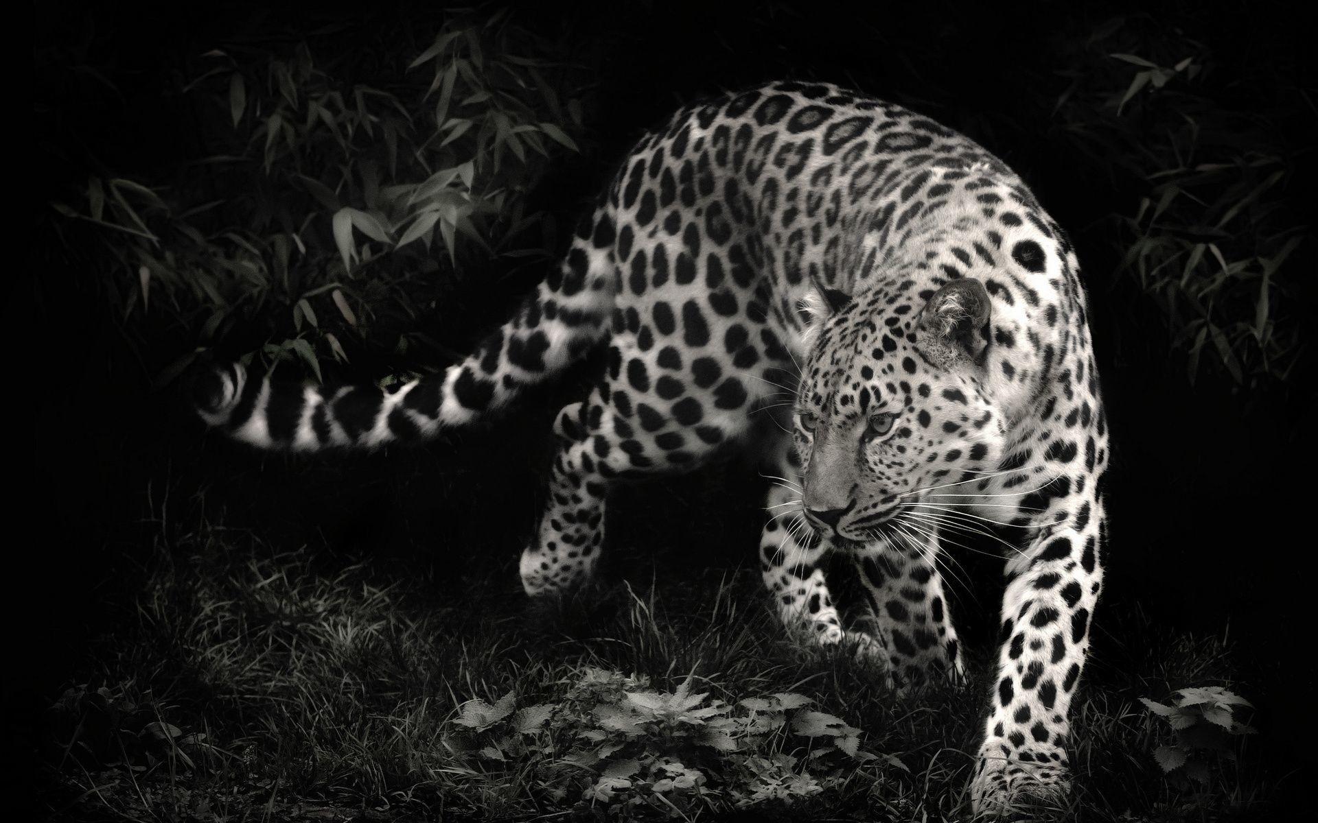 Leopard HD Wallpaper 1920×1080 Leopard HD Wallpaper 1920×1200