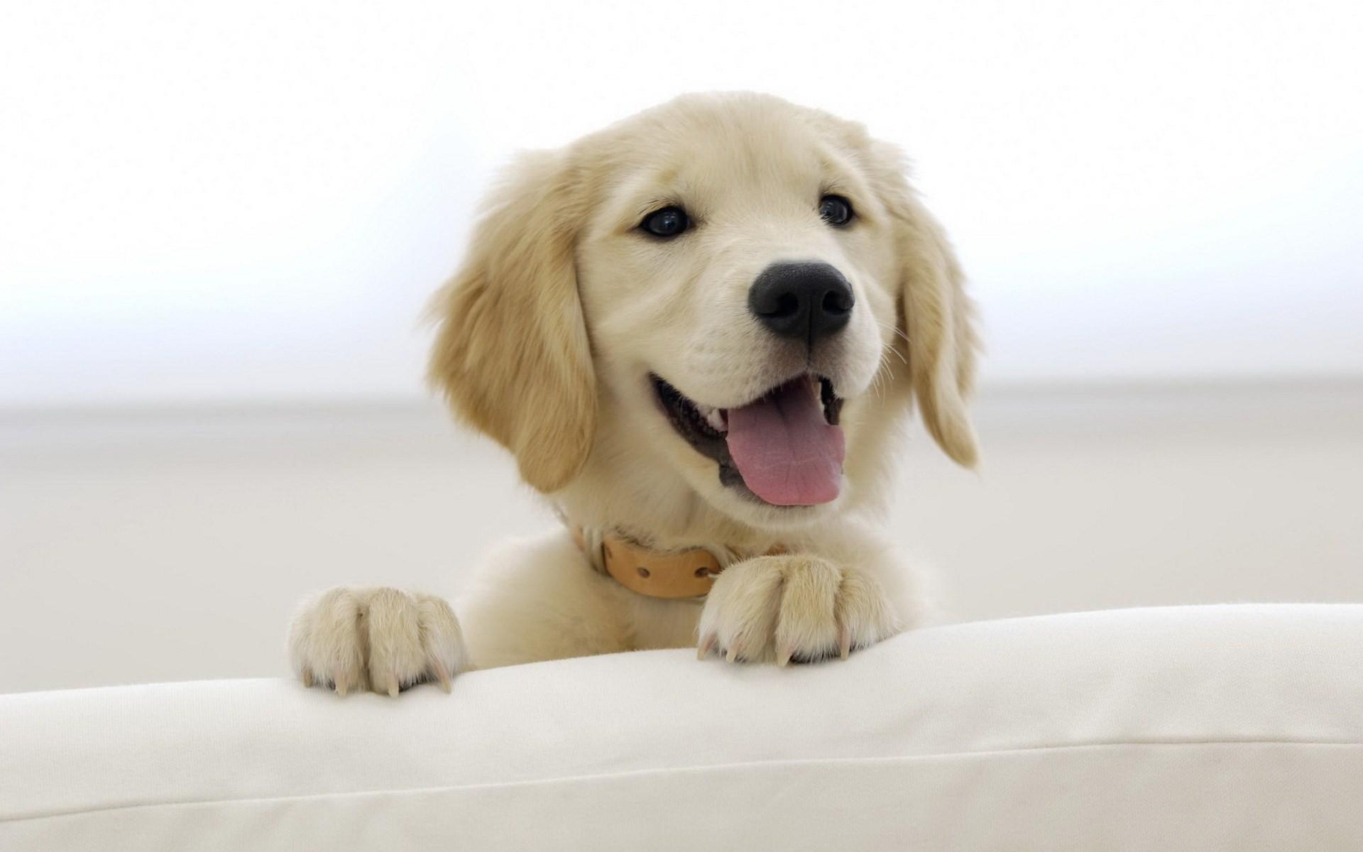 cute labrador wallpaper