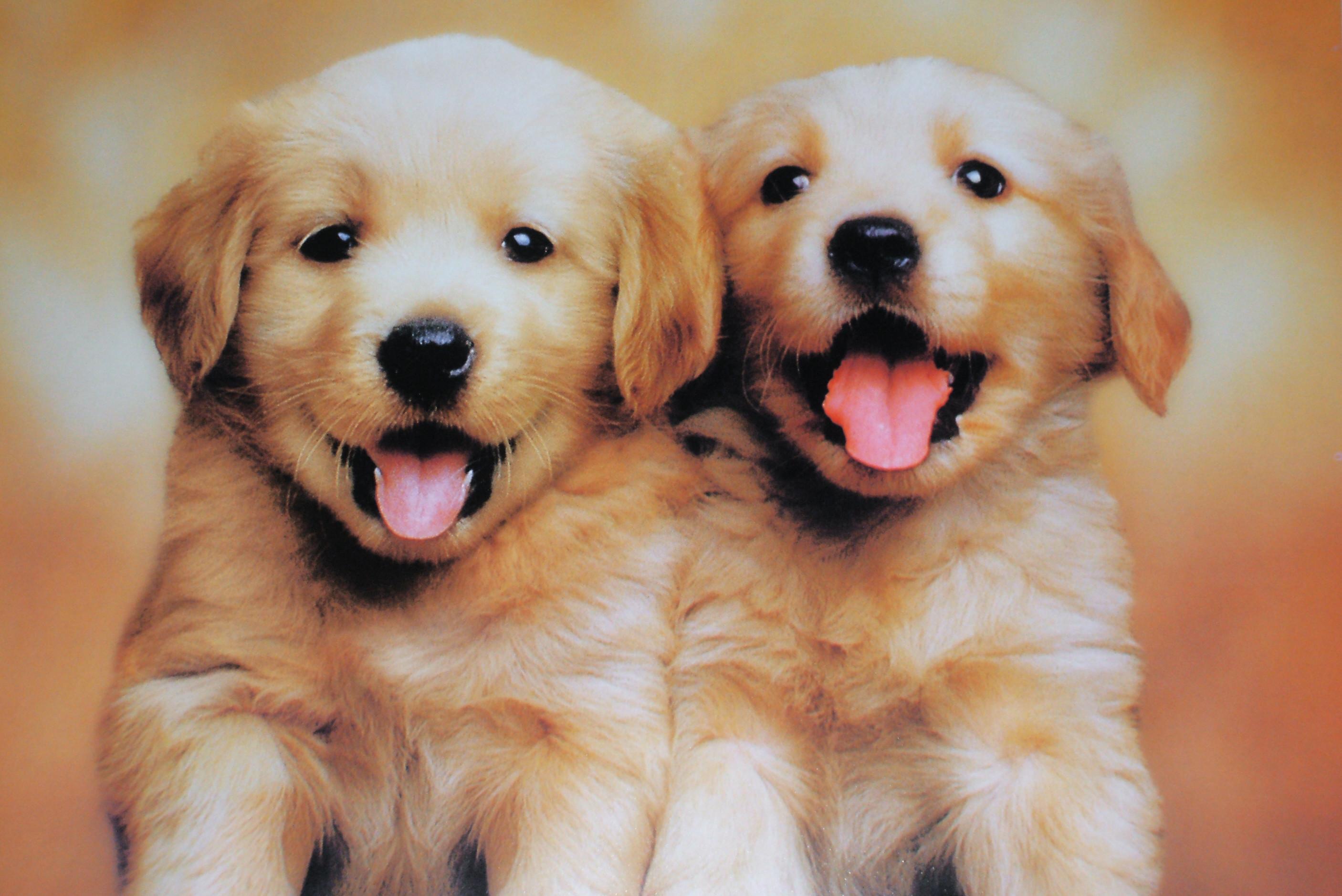 Description For Cute Twin Puppies Wallpaper Cute Twin Puppies .