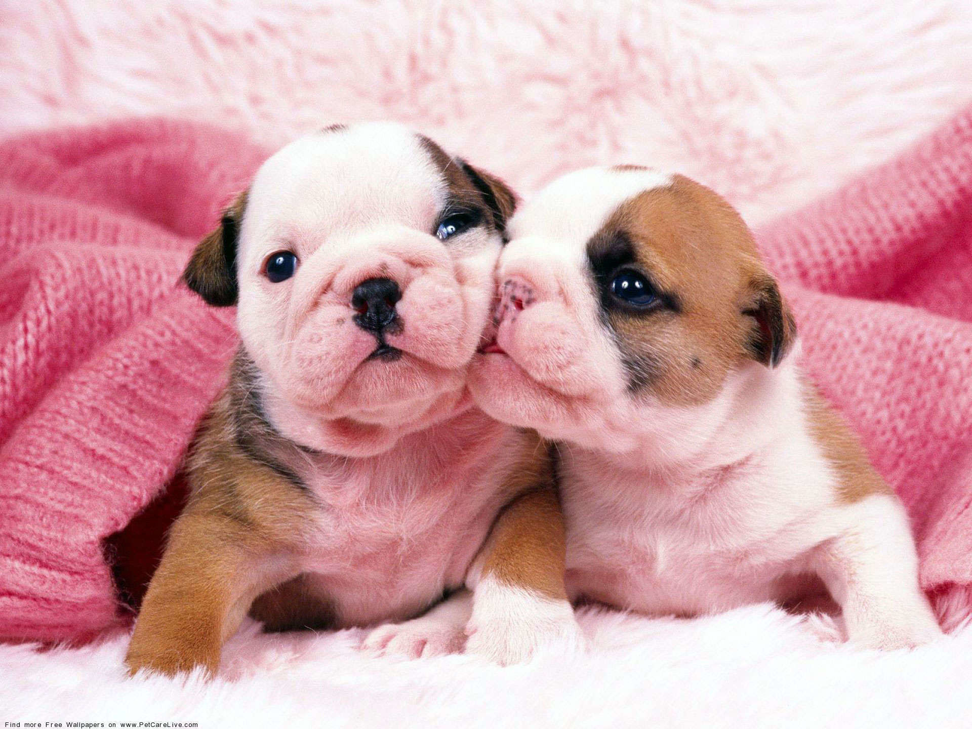 """Search Results for """"cute english bulldog puppies wallpaper"""" – Adorable  Wallpapers"""