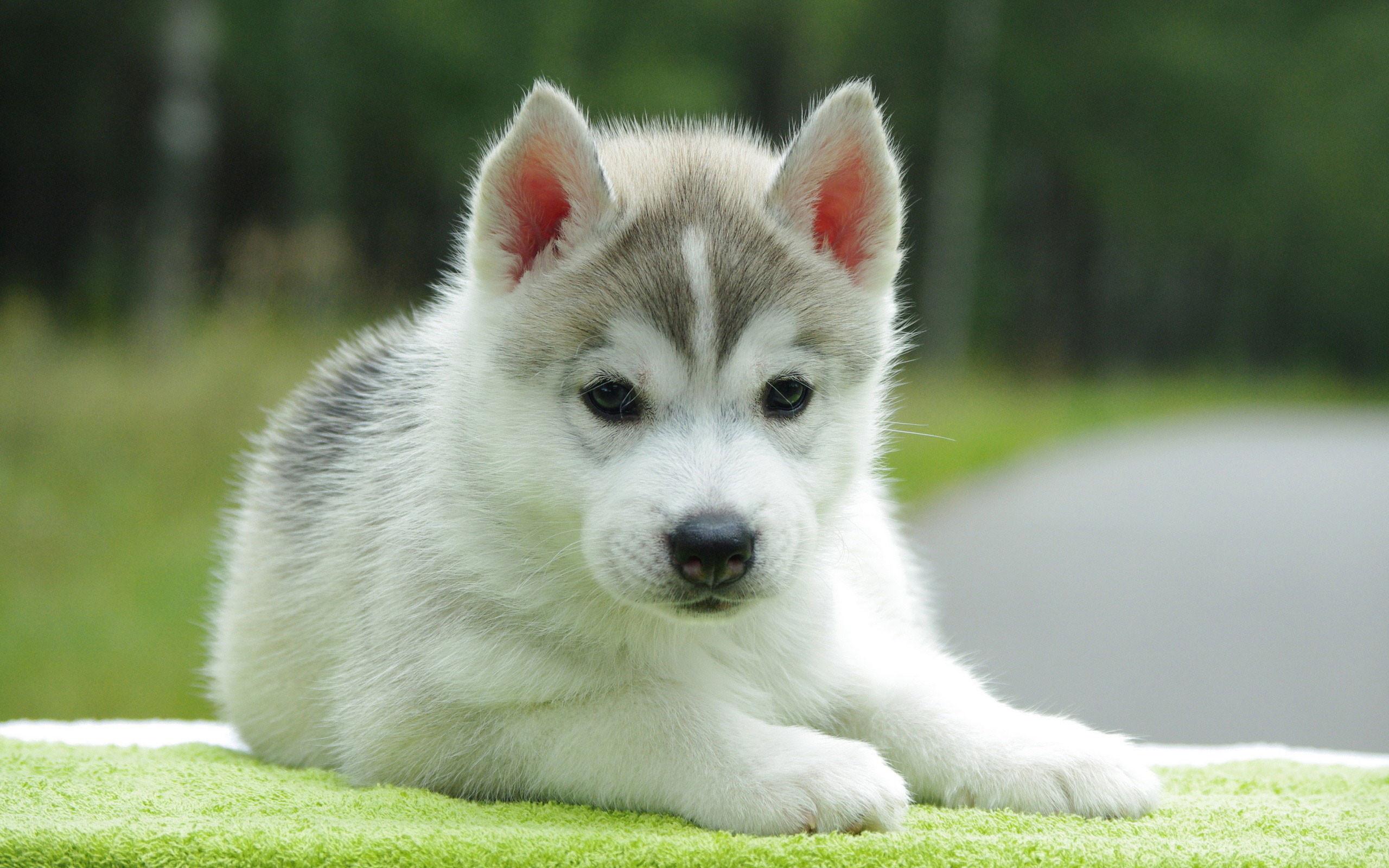 Puppy – Wallpapers, Pictures, Pics, Photos, Images   Desktop .