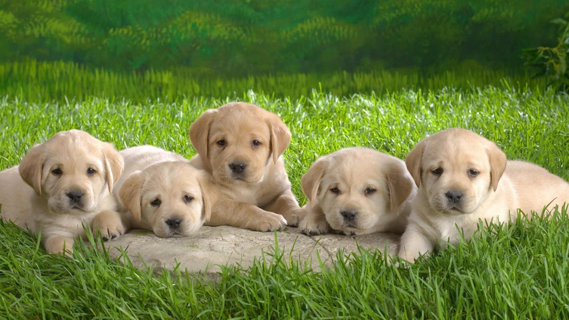 … cute lab puppies wallpaper wallpapersafari …