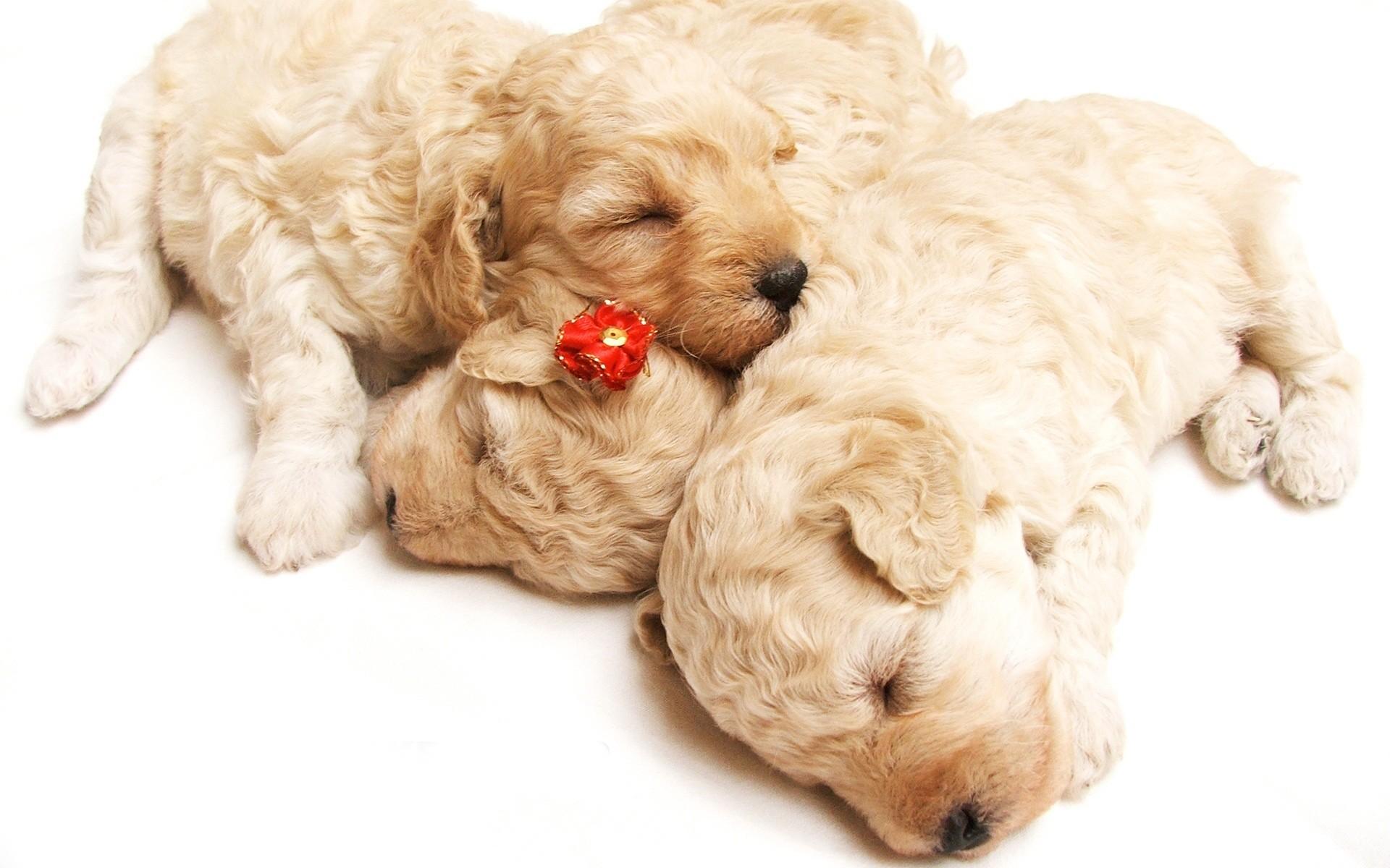 Image for cute sleeping puppies animal hd wallpaper