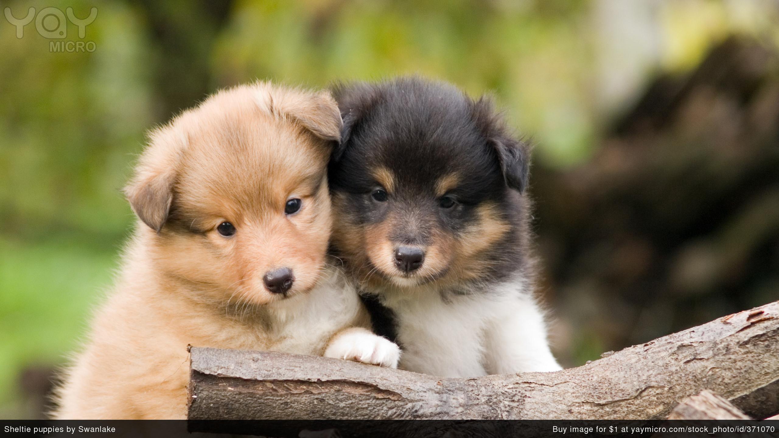 Sheltie Puppies in 2560 x 1440