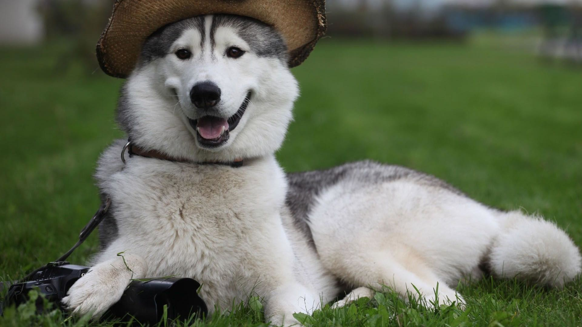 Cute Husky Puppies Pictures HD Wallpaper Cute Husky Puppies Pictures