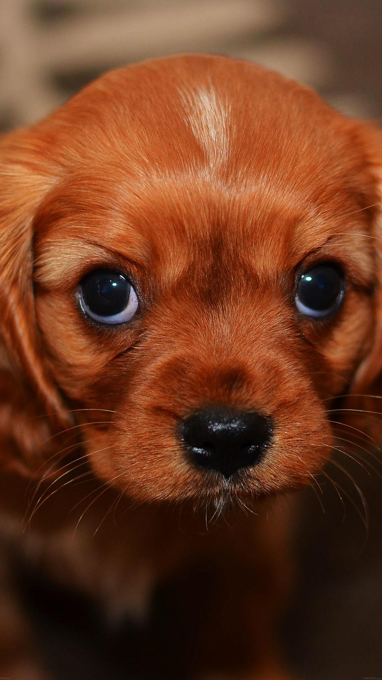 cool cute-puppy-wallpaper-iphone6-plus-wallpaper