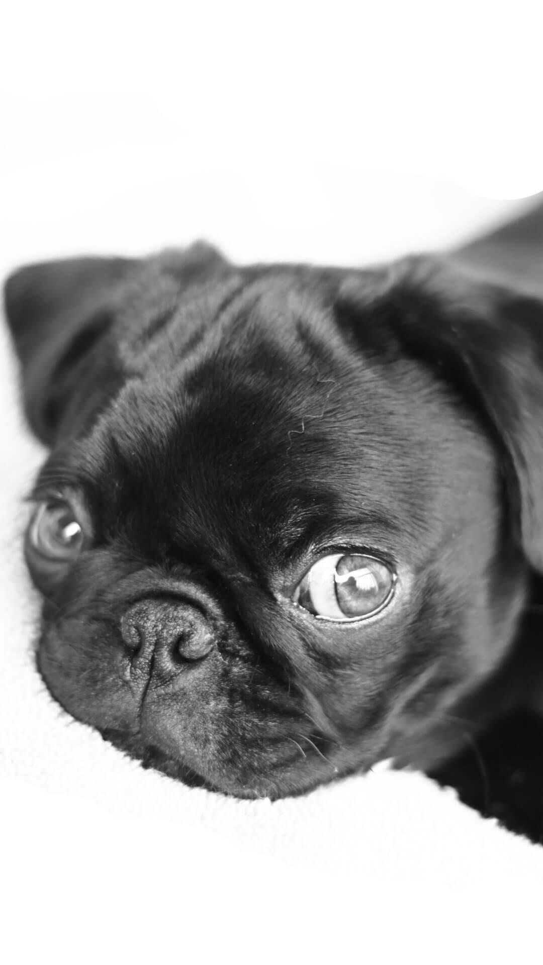 Cute Pugs Puppies iPhone 6 Wallpaper HD