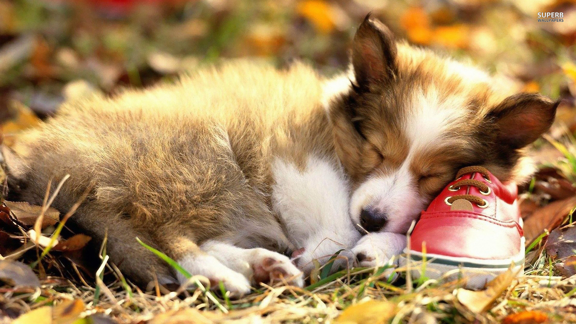 Cute Welsh Corgi Puppy Wallpaper Desktop #14a px 767.38 KB Animal  1600×900 black
