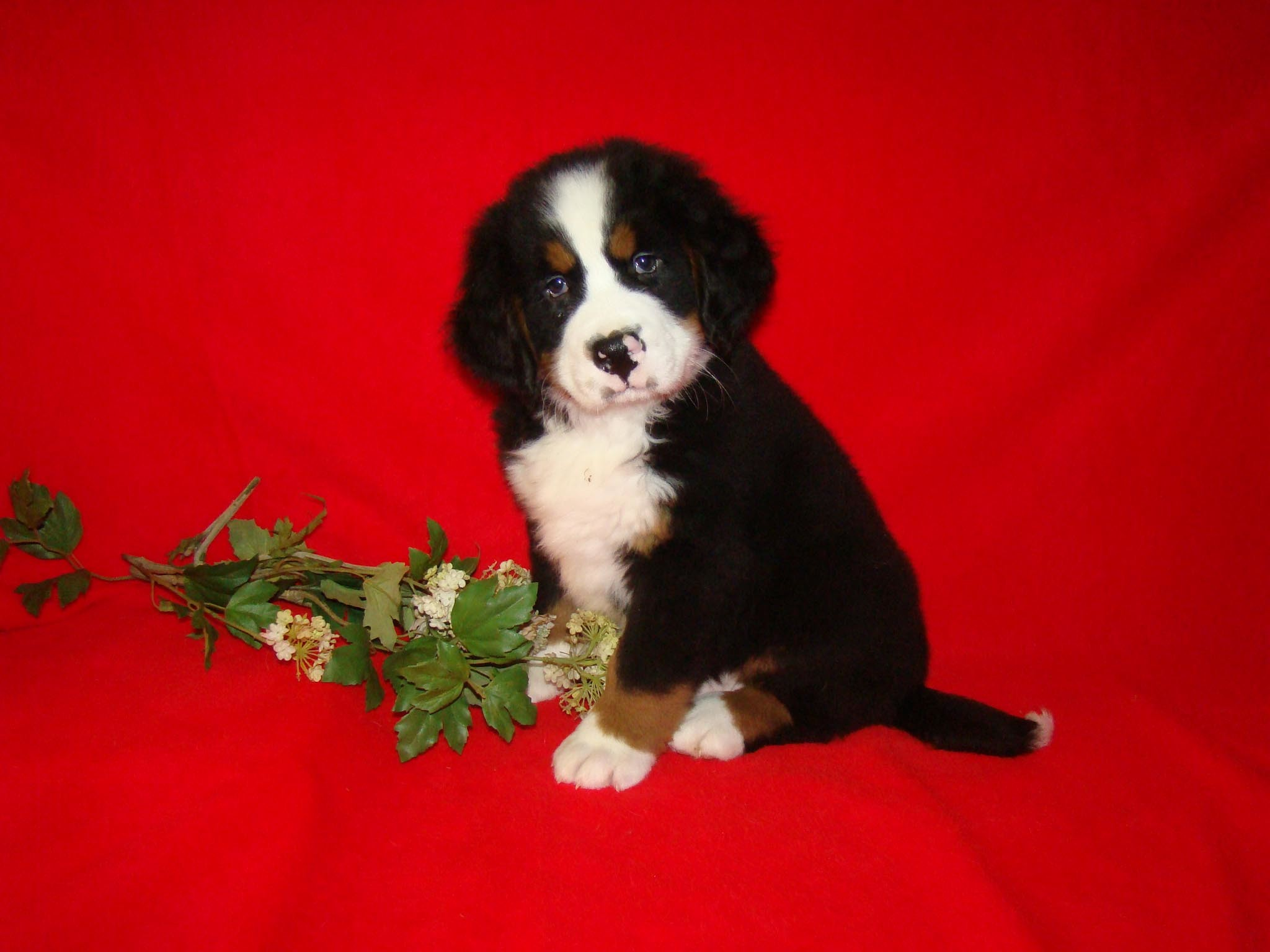 Images For > Cute Puppy Christmas Backgrounds