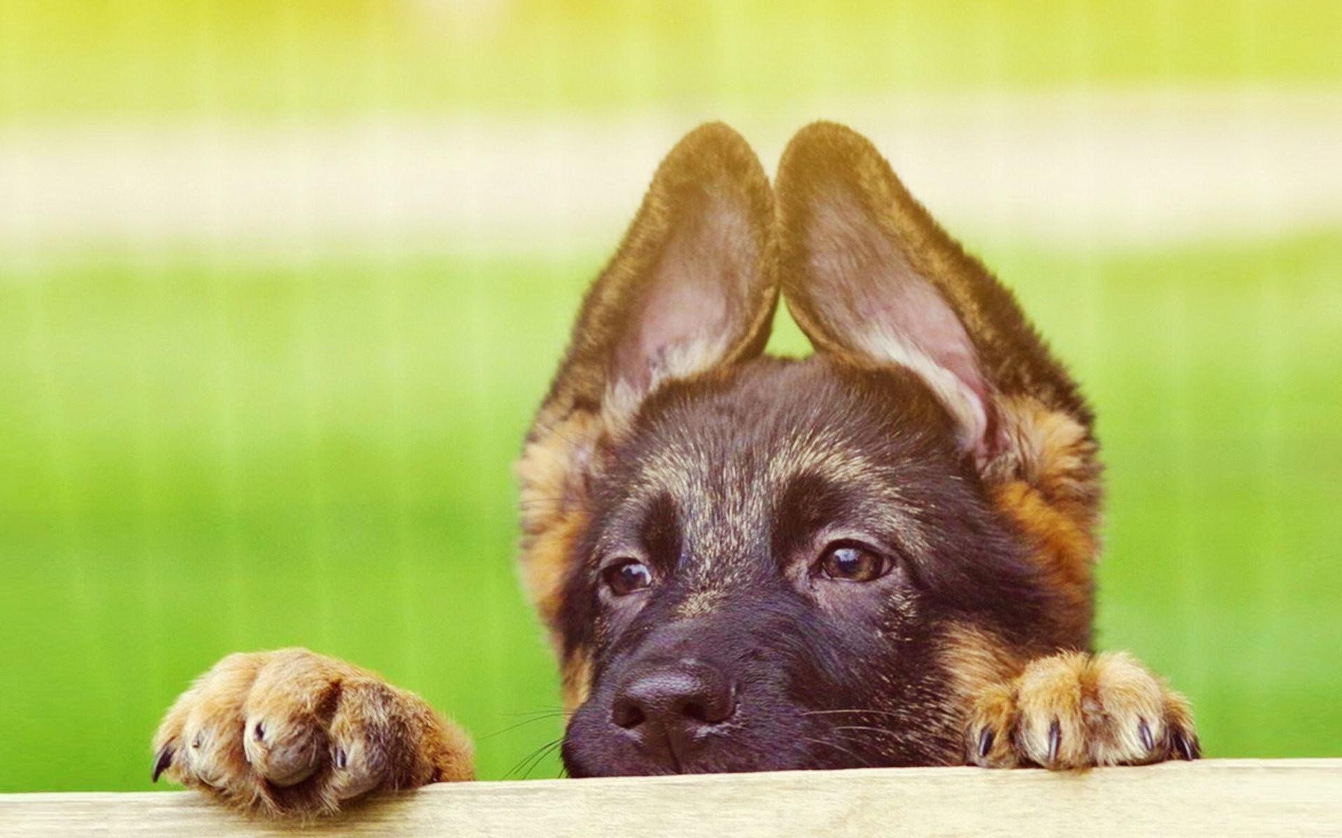 Cute German Shepherd Puppies Wallpapers High Resolution