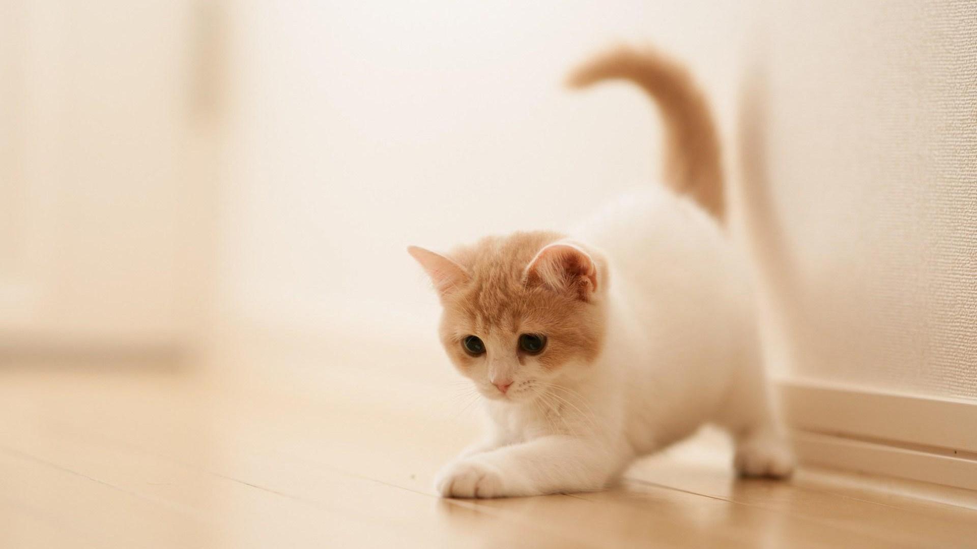 American Shorthair Kitten Wallpaper