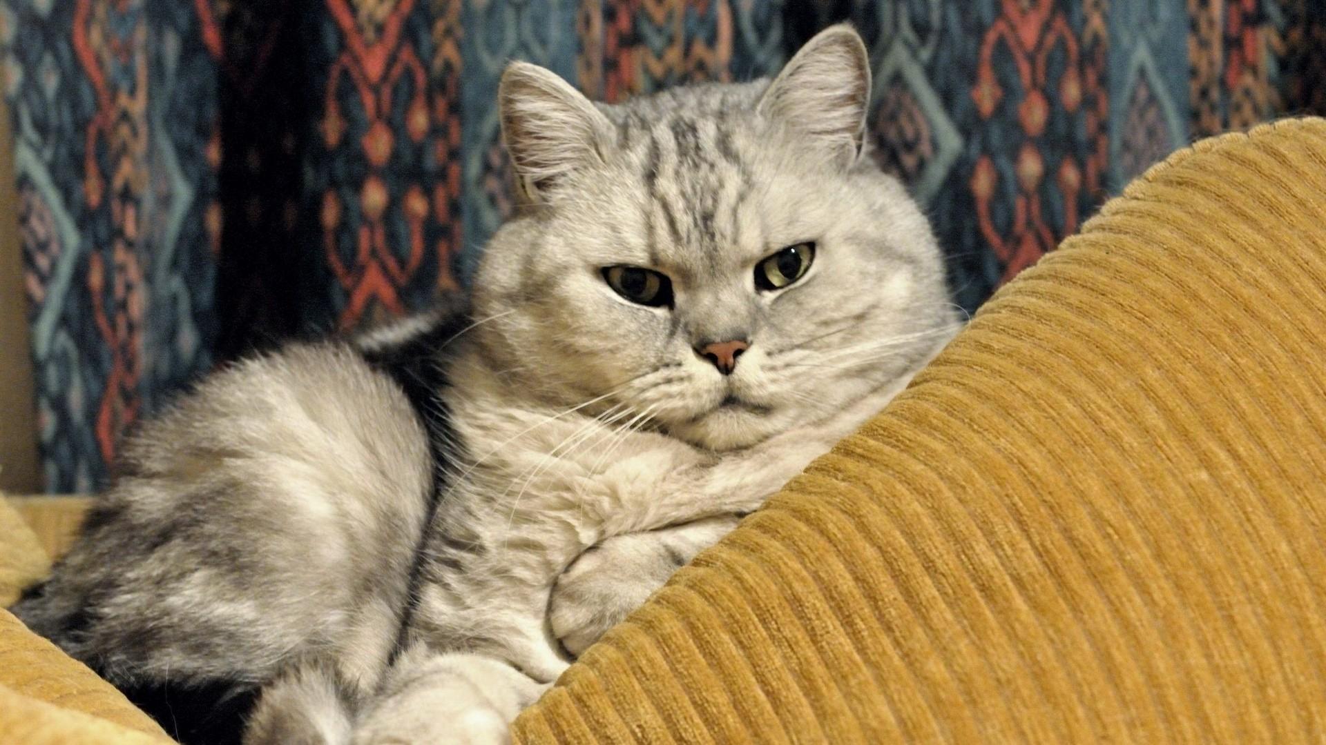 Wallpaper cat, fat, lying, face, happy
