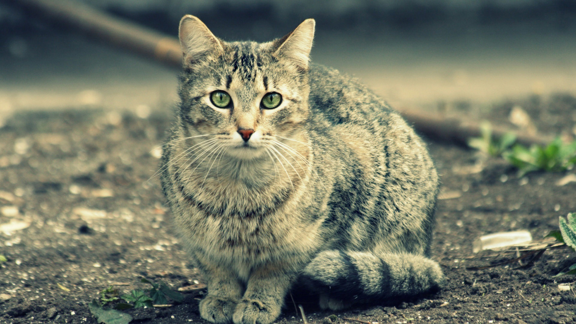 Gray Cat wallpapers and stock photos