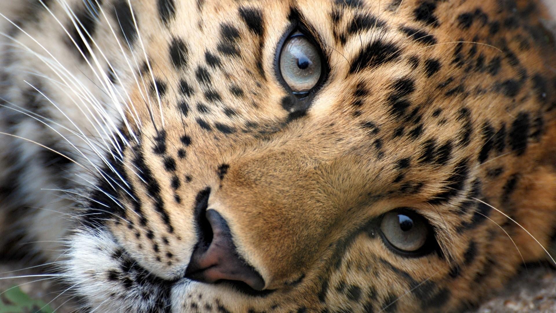 Wallpaper leopard, face, eyes, big cat