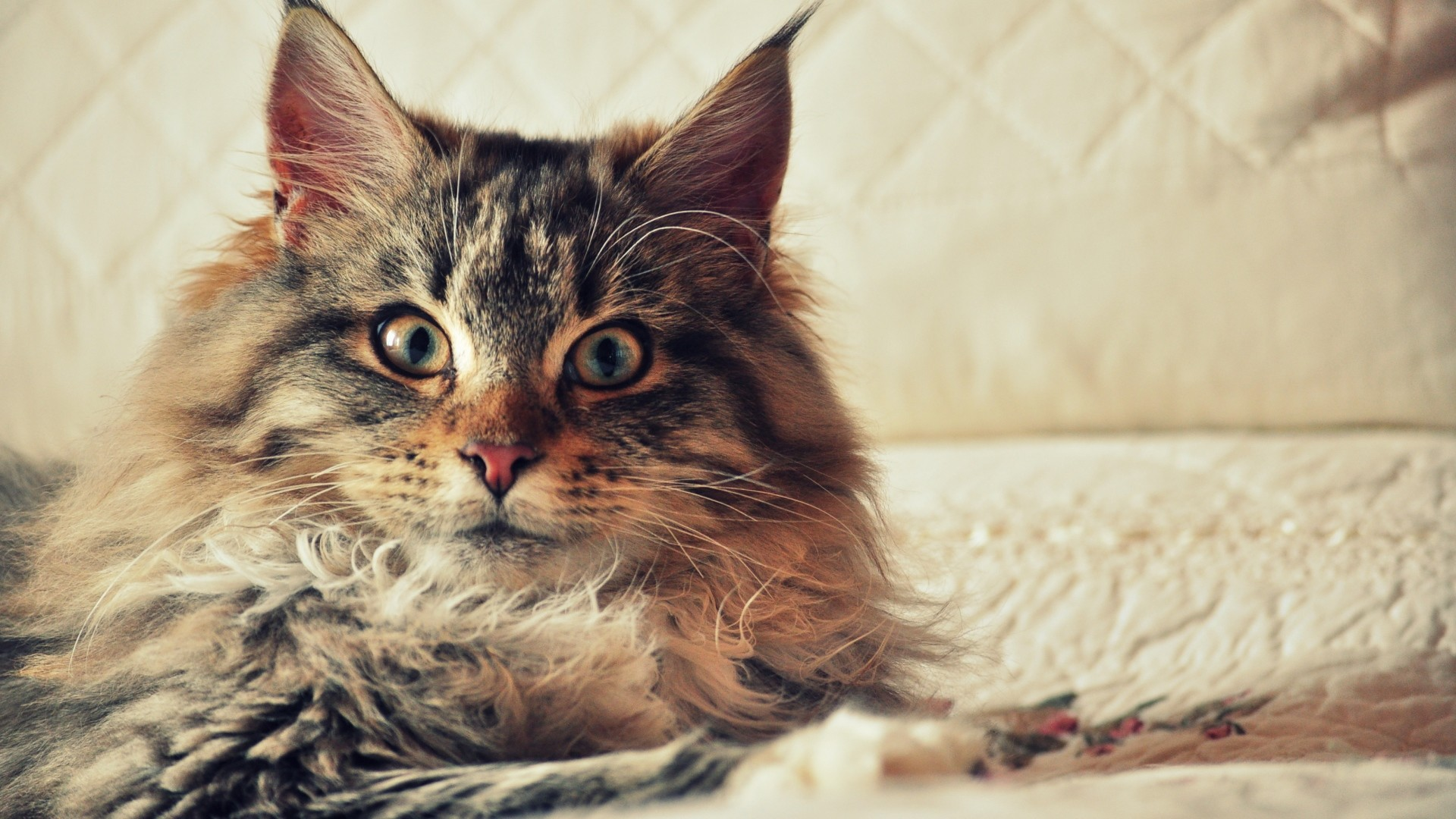 Wallpaper cat, maine coon, fluffy, look