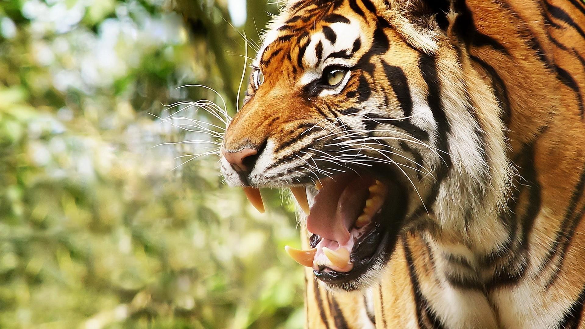 Preview wallpaper big cat, tiger, face, teeth, anger 1920×1080
