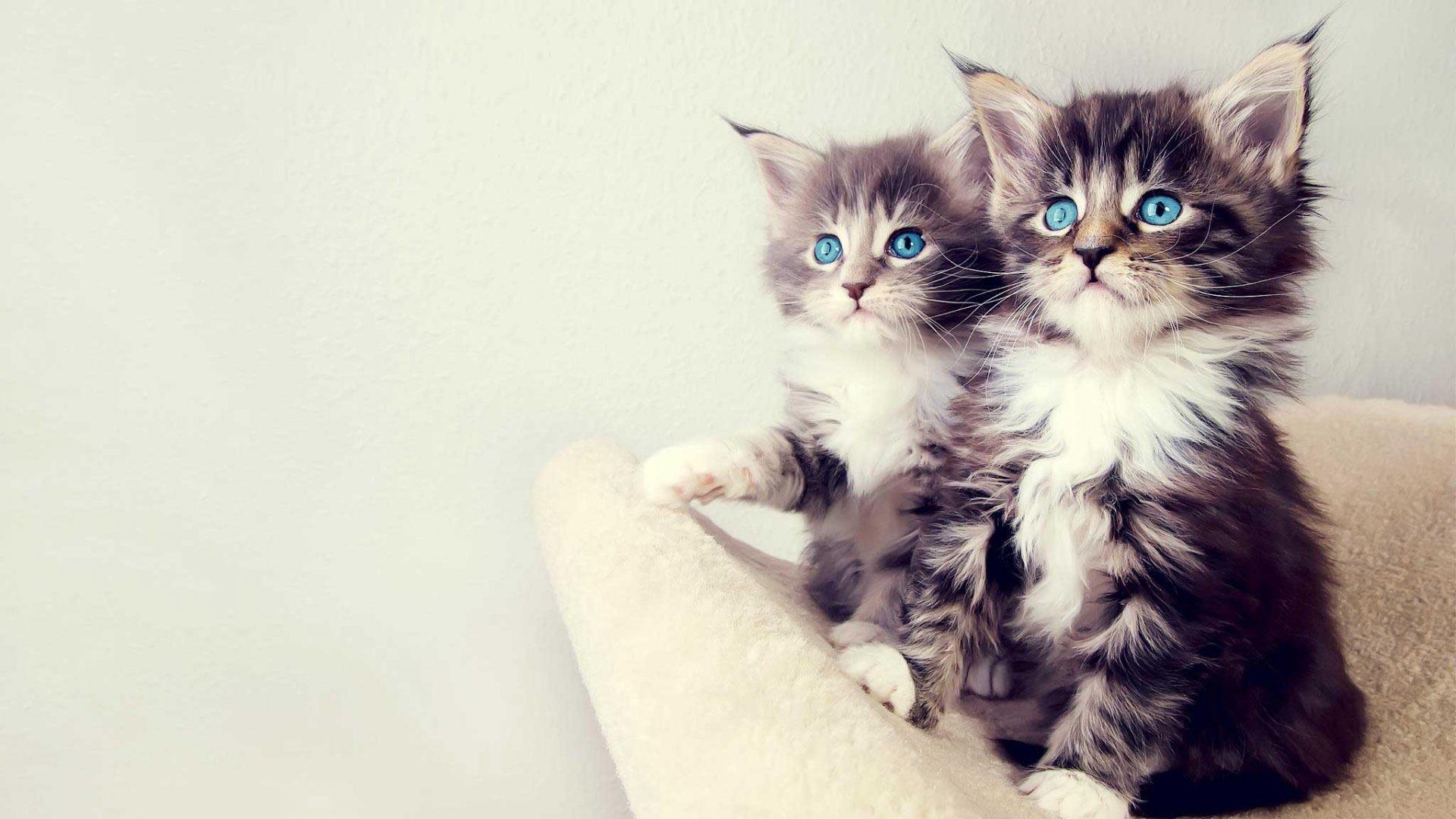 Cute couple cat wallpaper phone 1920×1080.