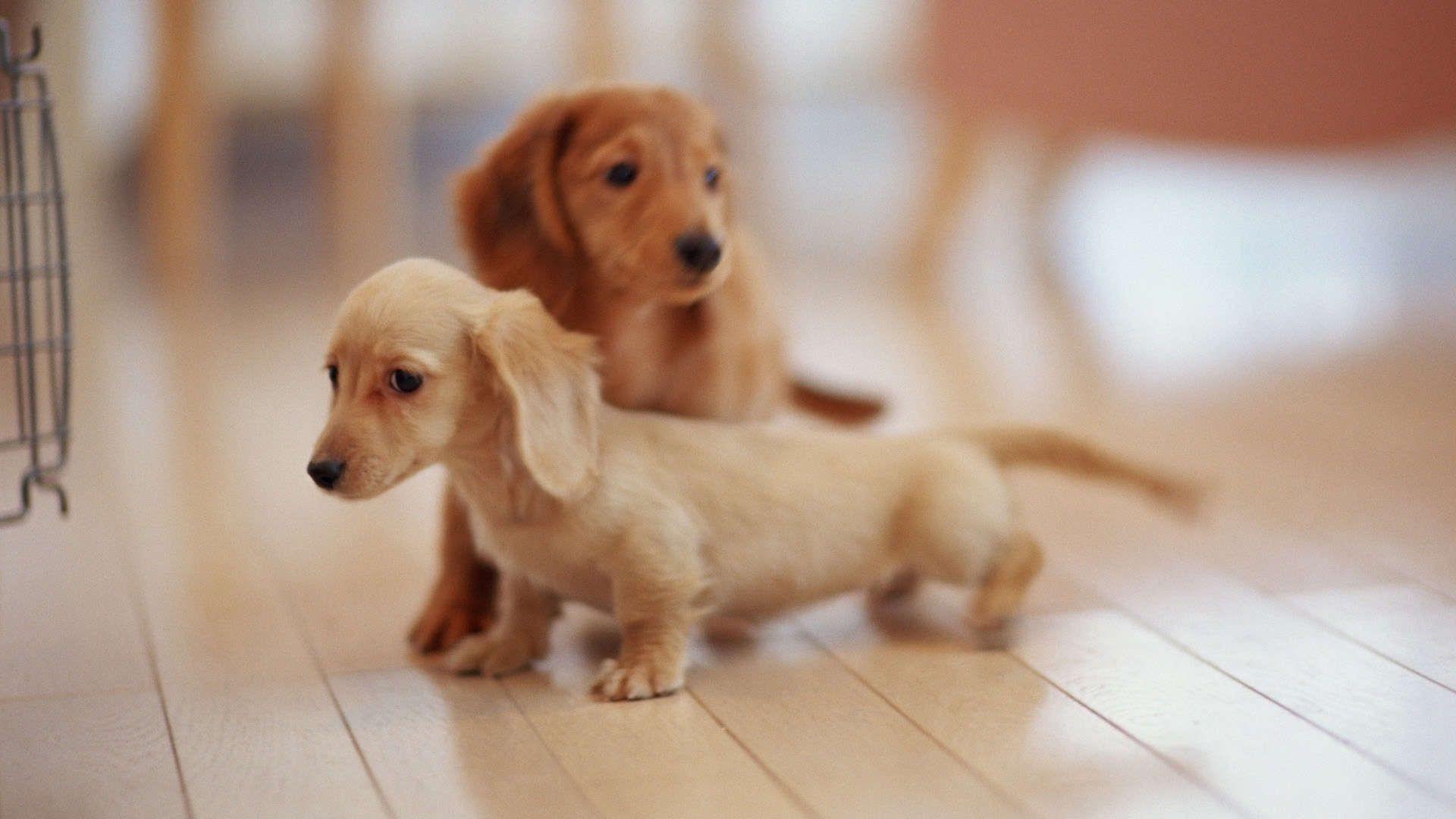cute dachshund puppies wallpaper