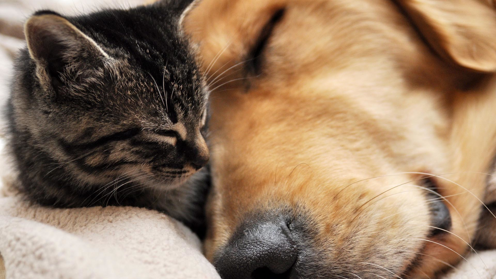 Cat and Dog Best Friends HD Wallpaper » FullHDWpp – Full HD .