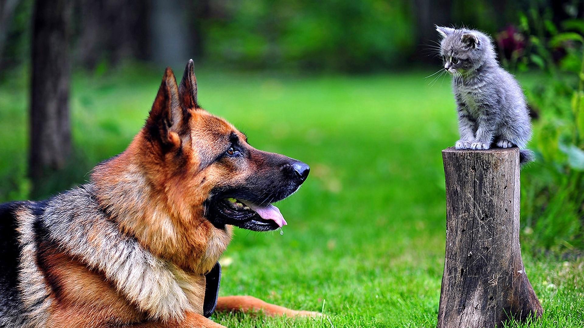 Wallpaper dog, cat, grass, german shepherd