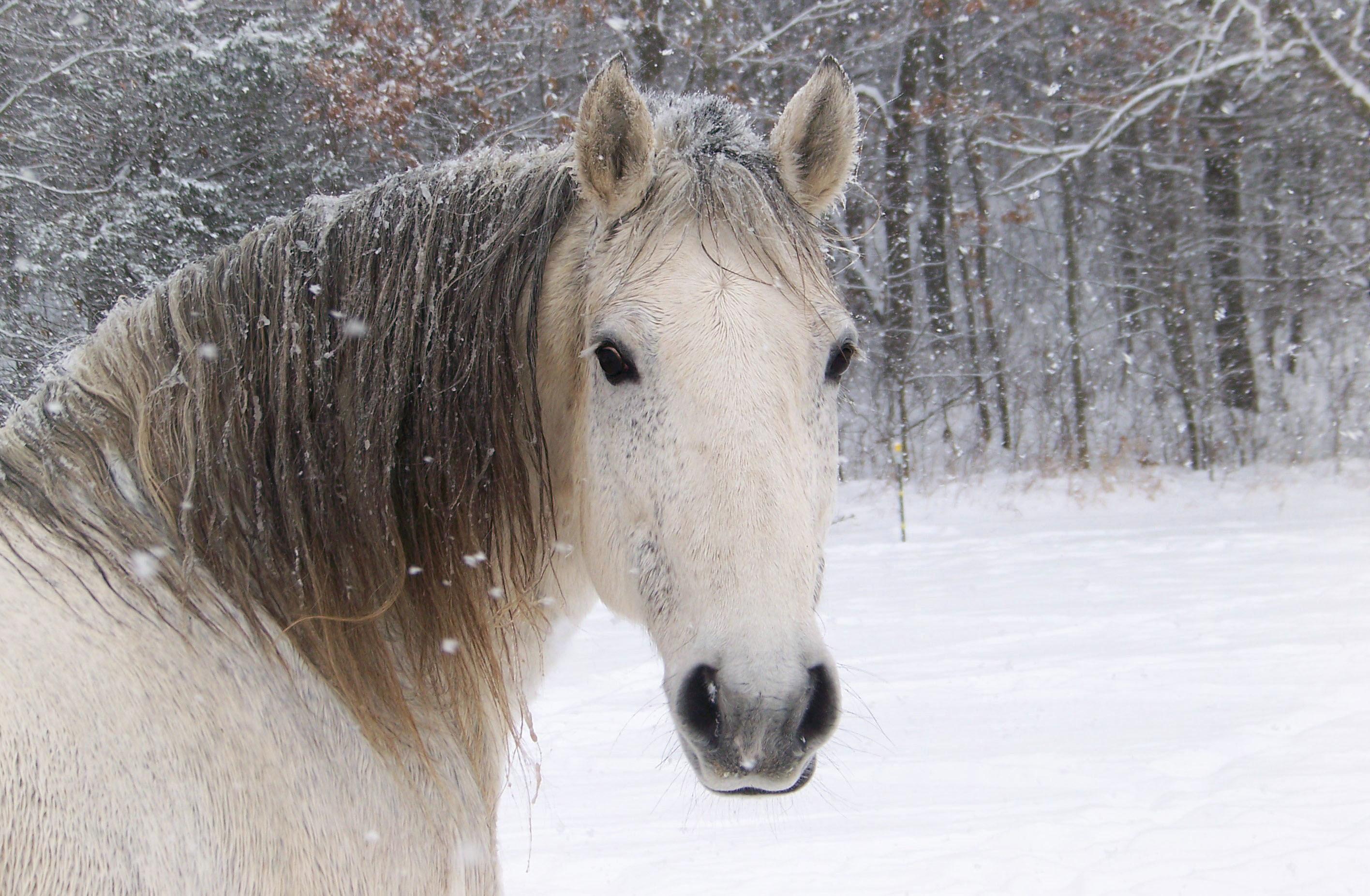 Horse Winter Head Snowflake Snow wallpaper | | 151717 .