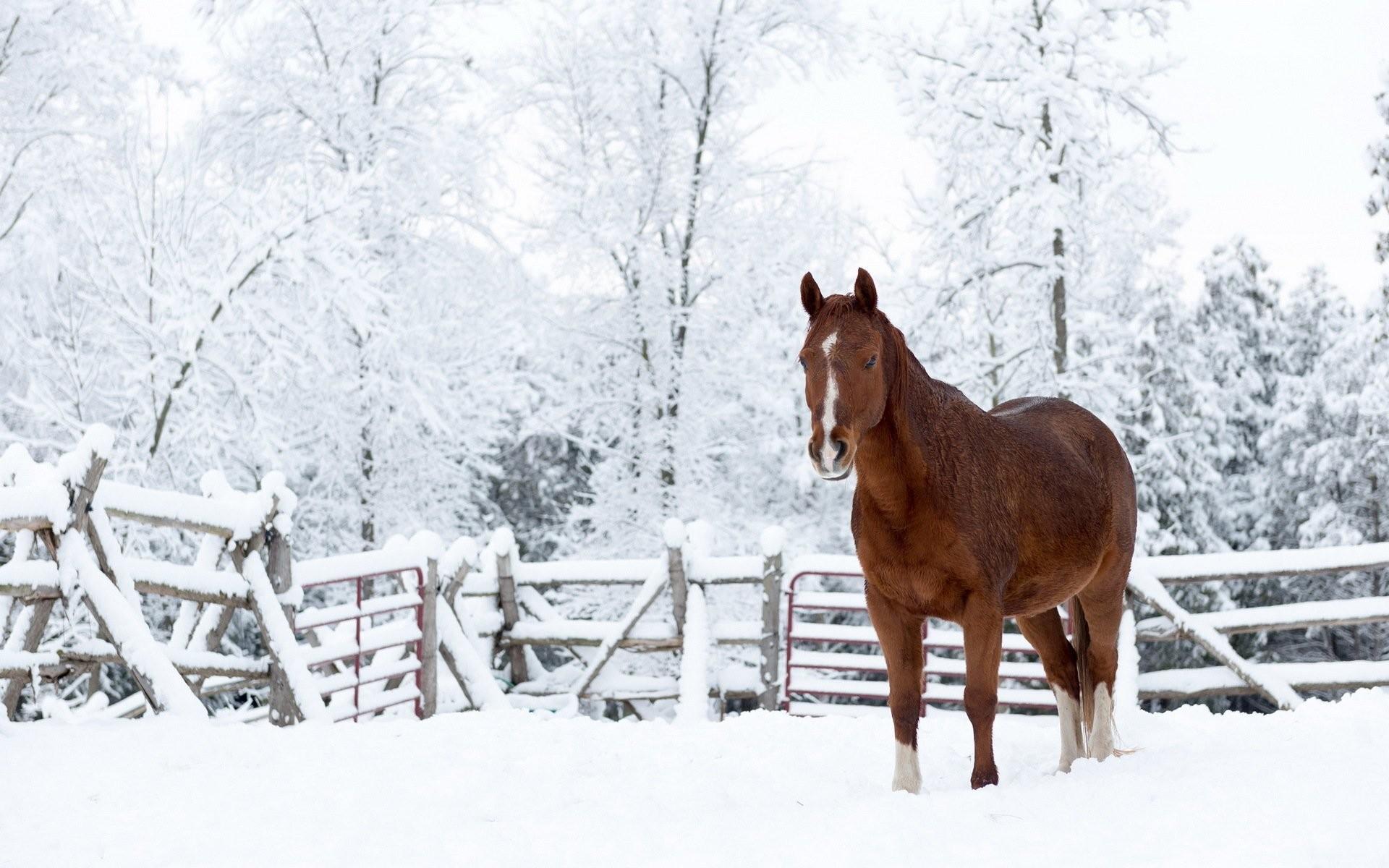 horse snow nature