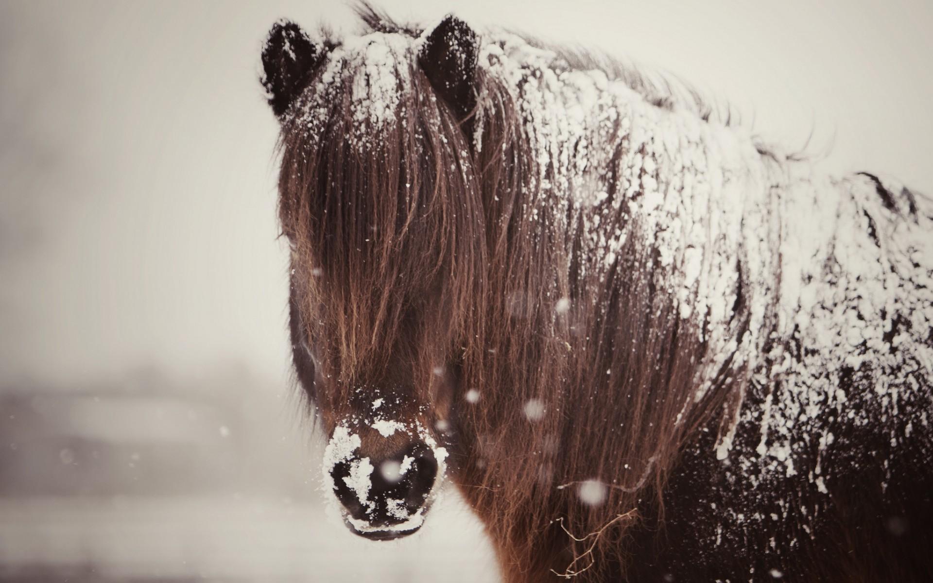 horse, snow, mane, Horse