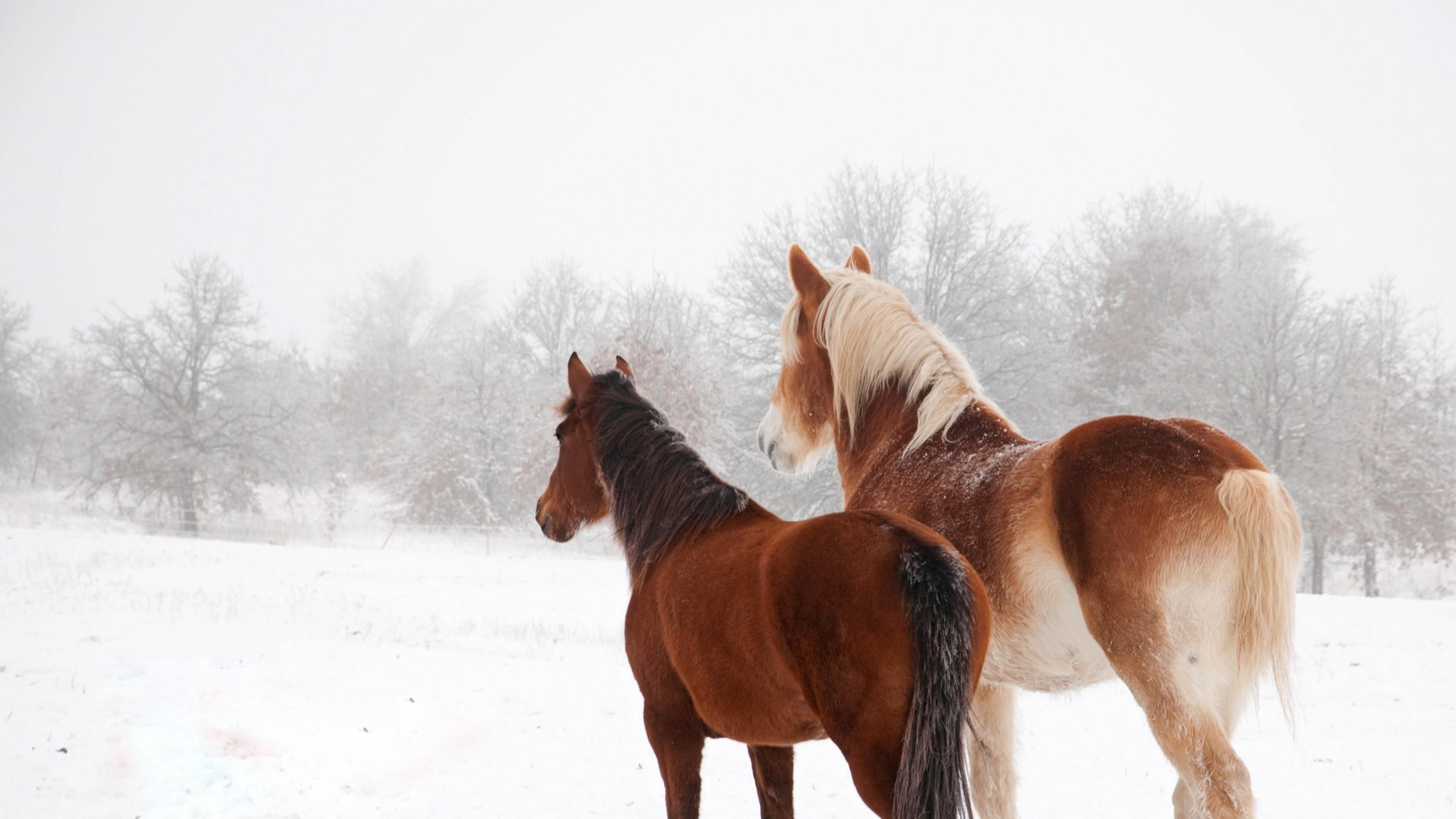 Wallpaper horse, winter, snow, couple