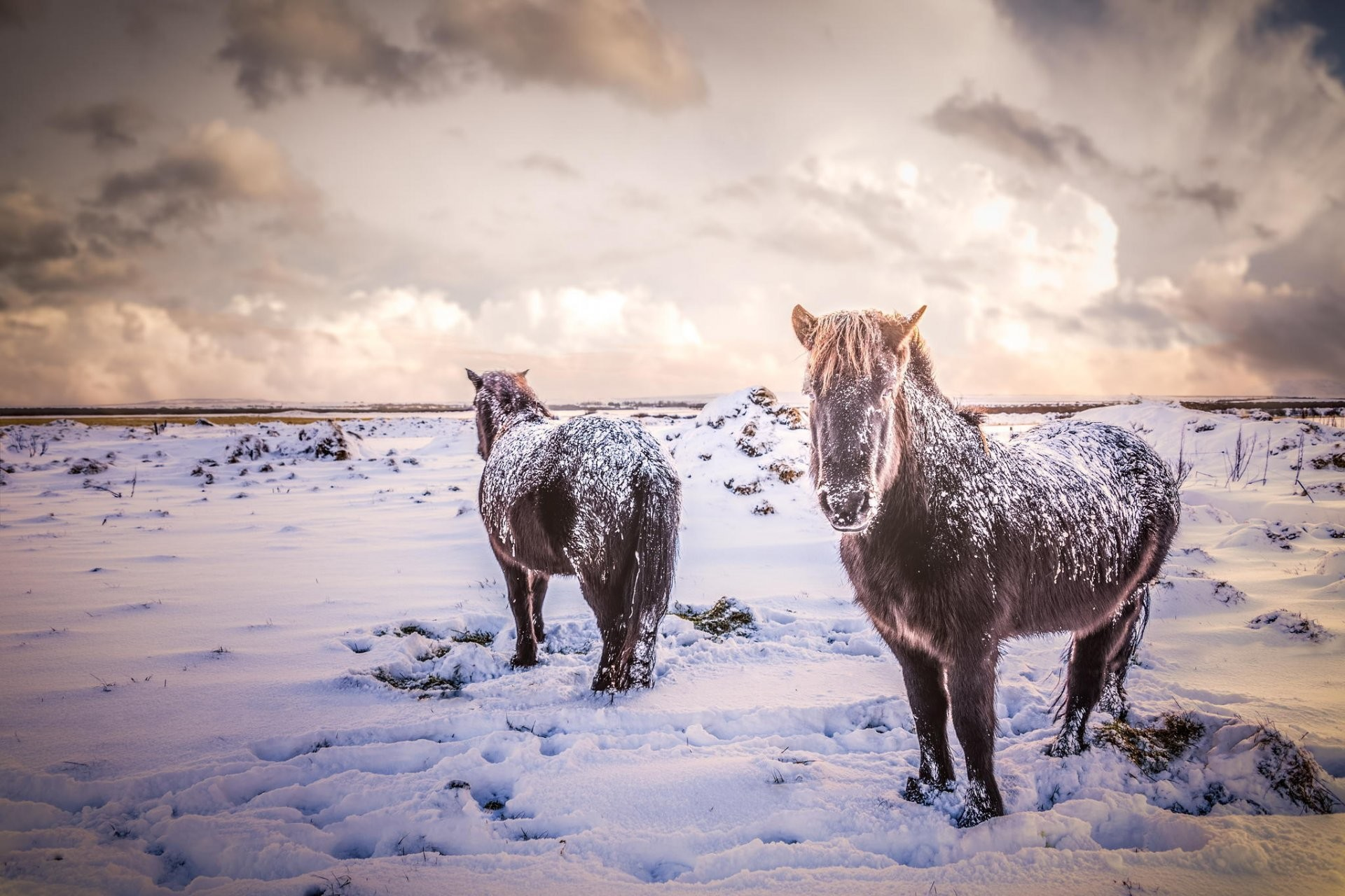 horse horses animals iceland snow winter the field nature