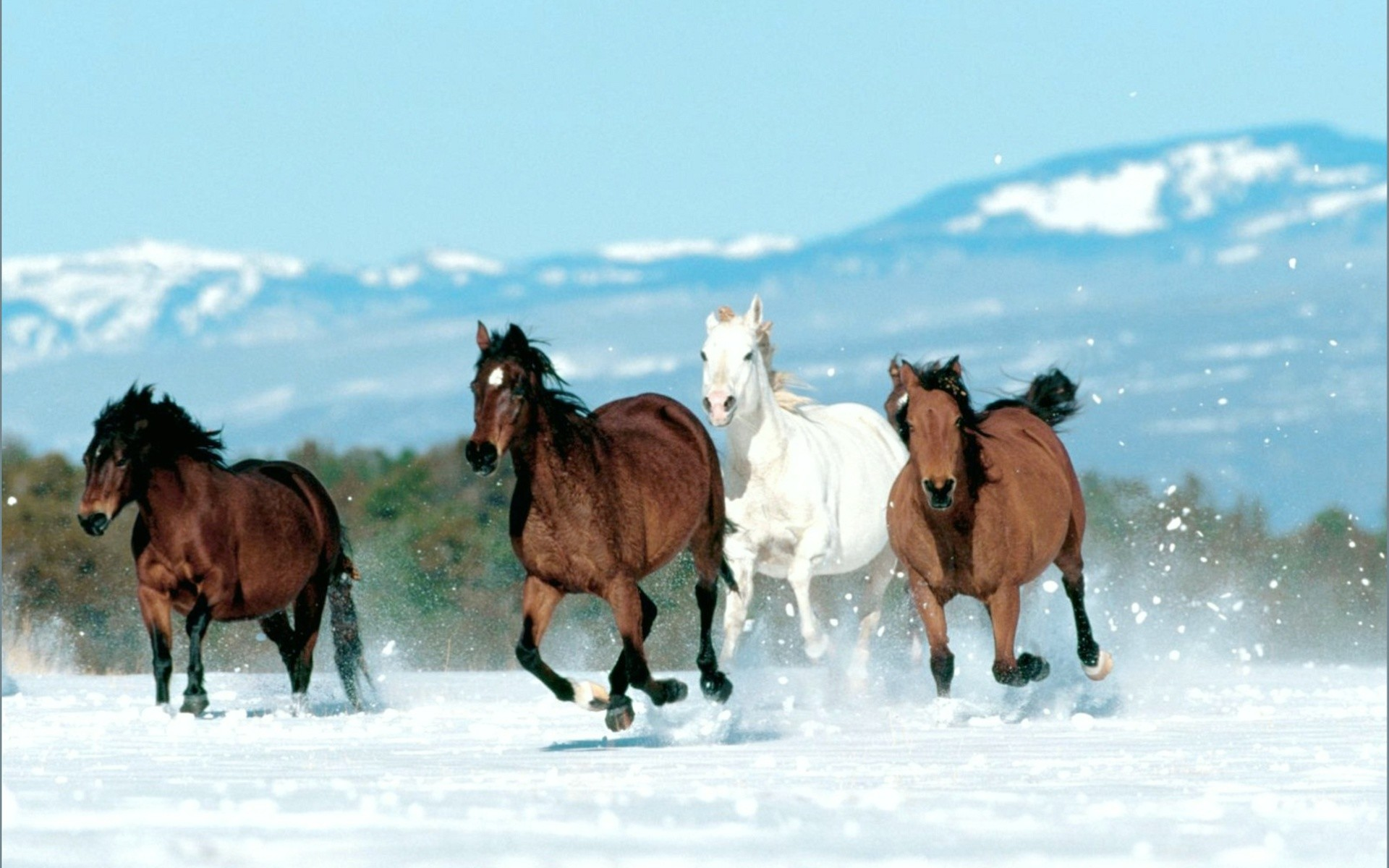 Beautiful Horses Running in Snow Wallpapers