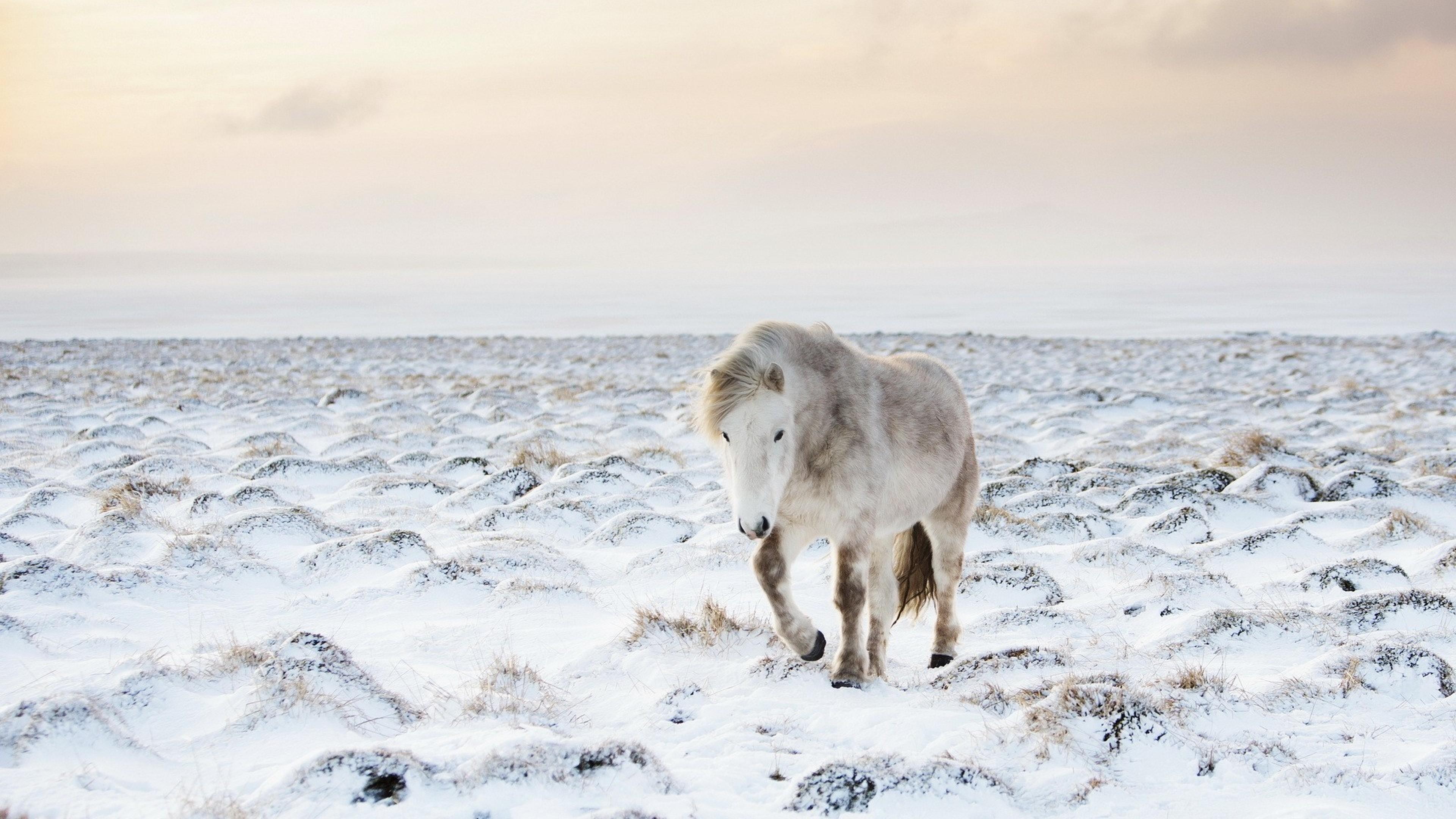 Wallpaper horse, snow, winter