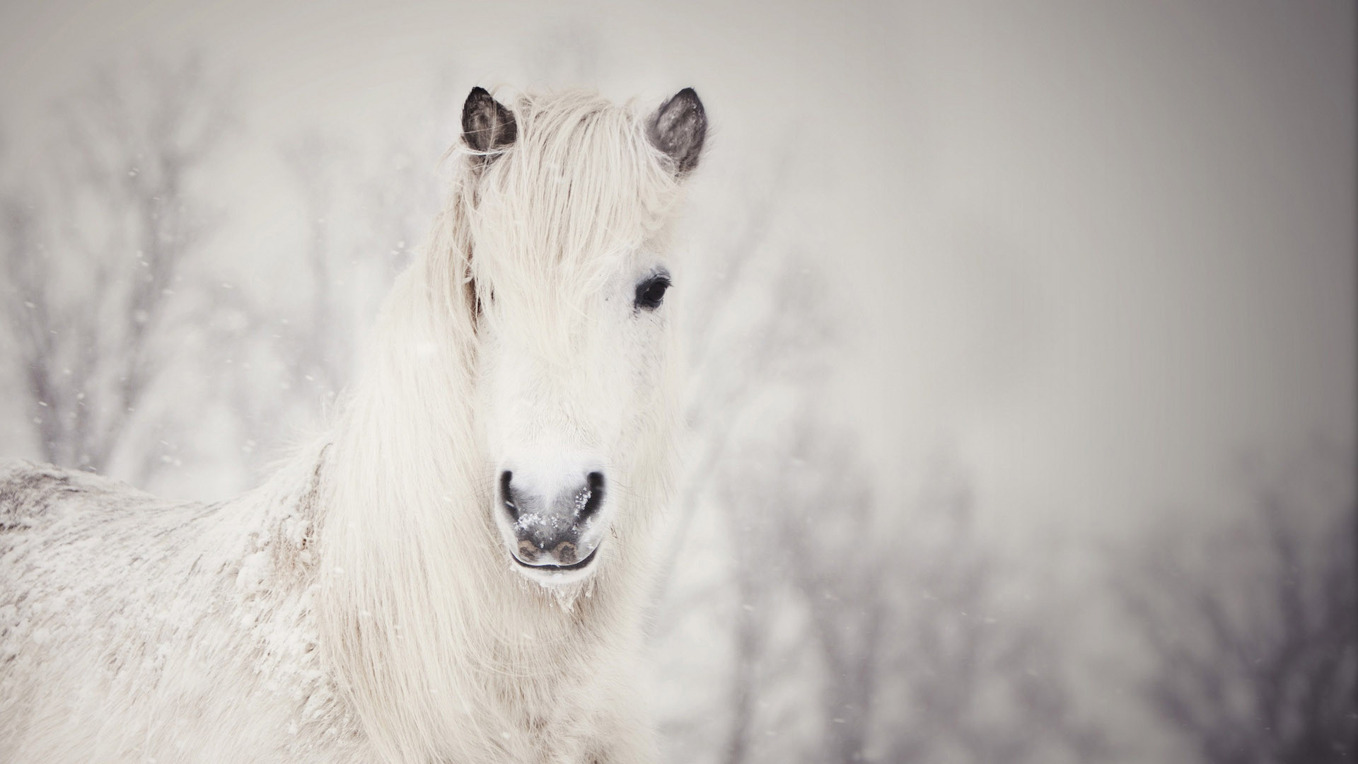 White horse in the snow HD Wallpaper 1920×1080