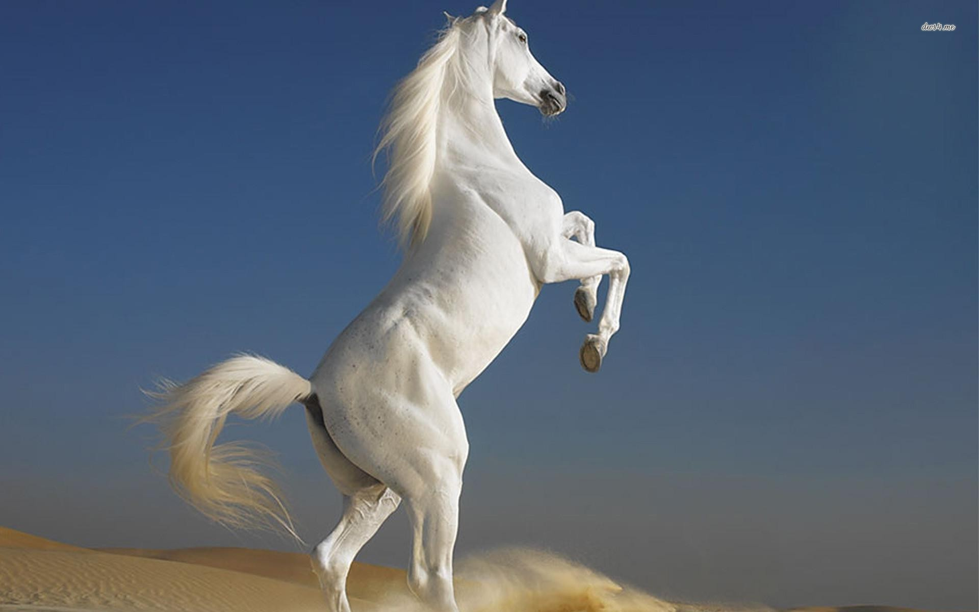 White Horse Hd Wallpapers 02