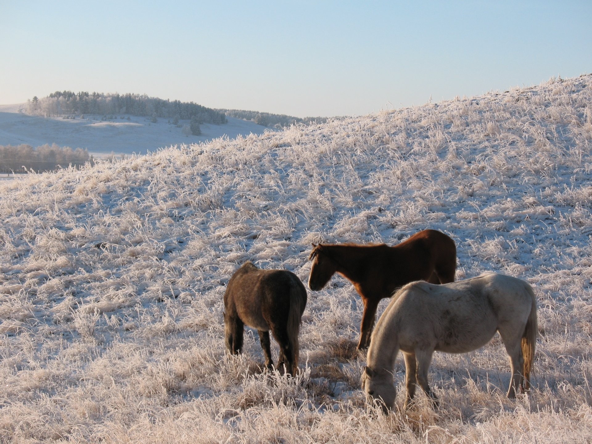 horse horse herd steppe kazakhstan volcano winter snow frost kokshetau  pasture pasture hd wallpapers