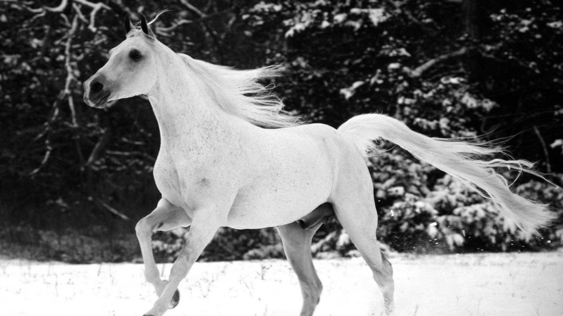 White Horse Full HD Wallpaper 1920×1080