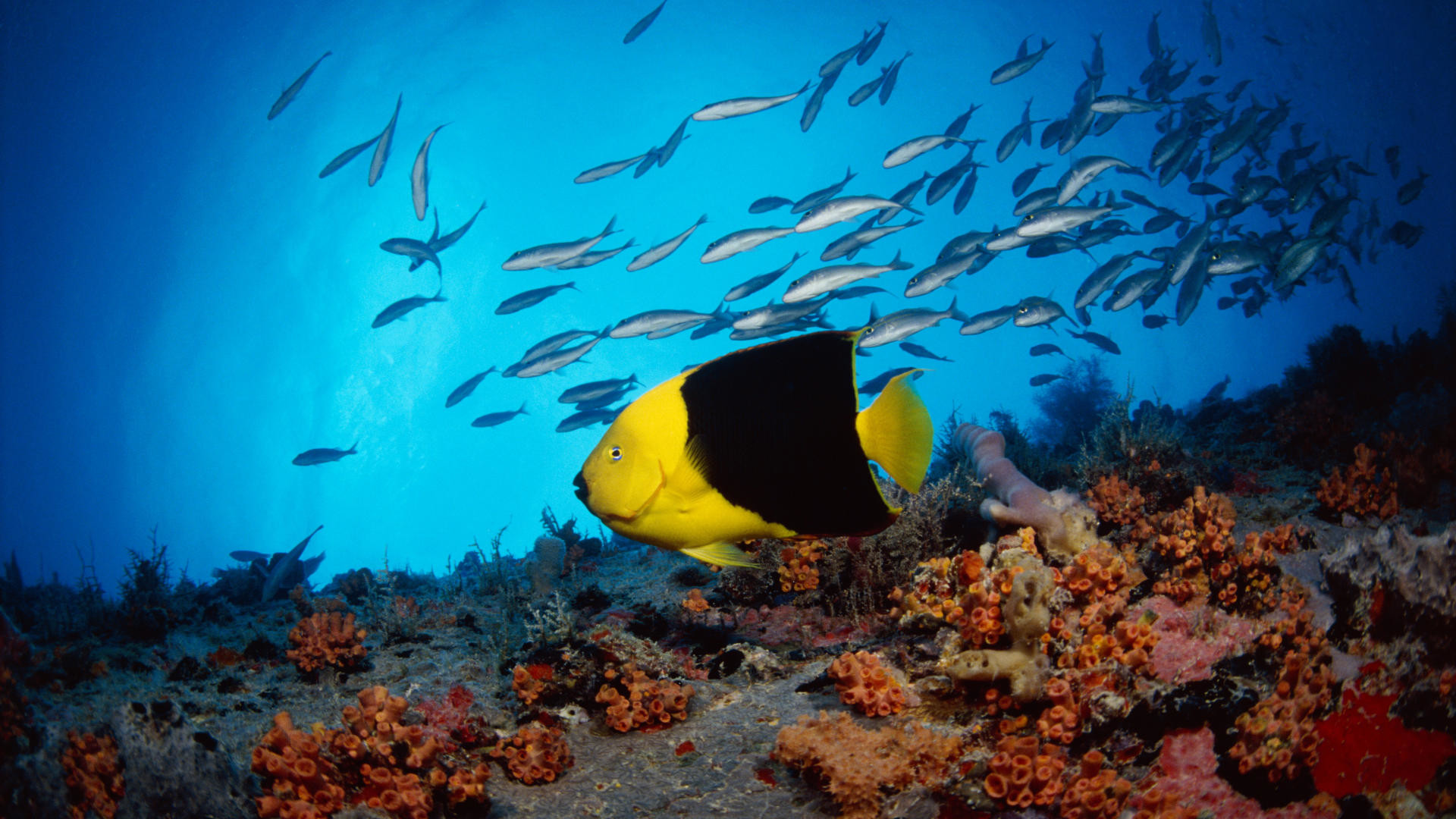 Reef Fish HD Wide Wallpaper for Widescreen (21 Wallpapers) – HD Wallpapers