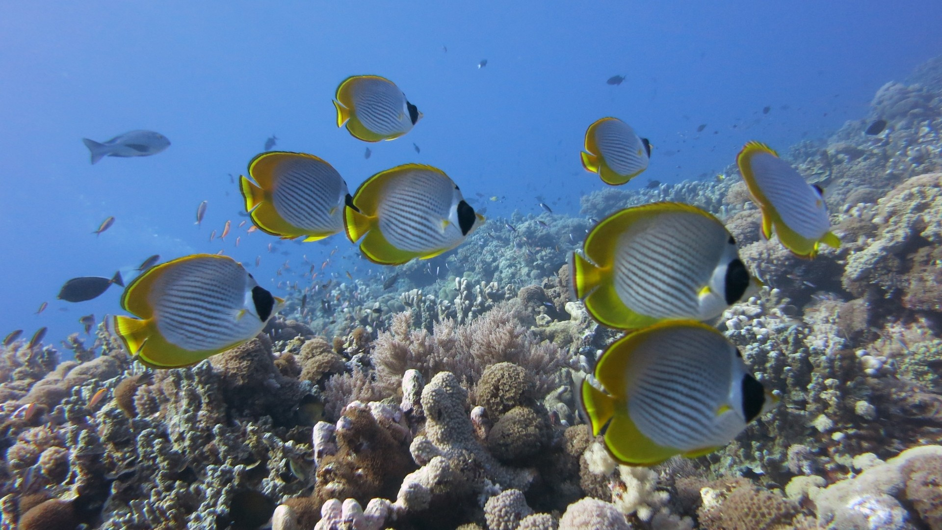 Preview wallpaper underwater, fish, butterflyfish panda, coral, reef  1920×1080