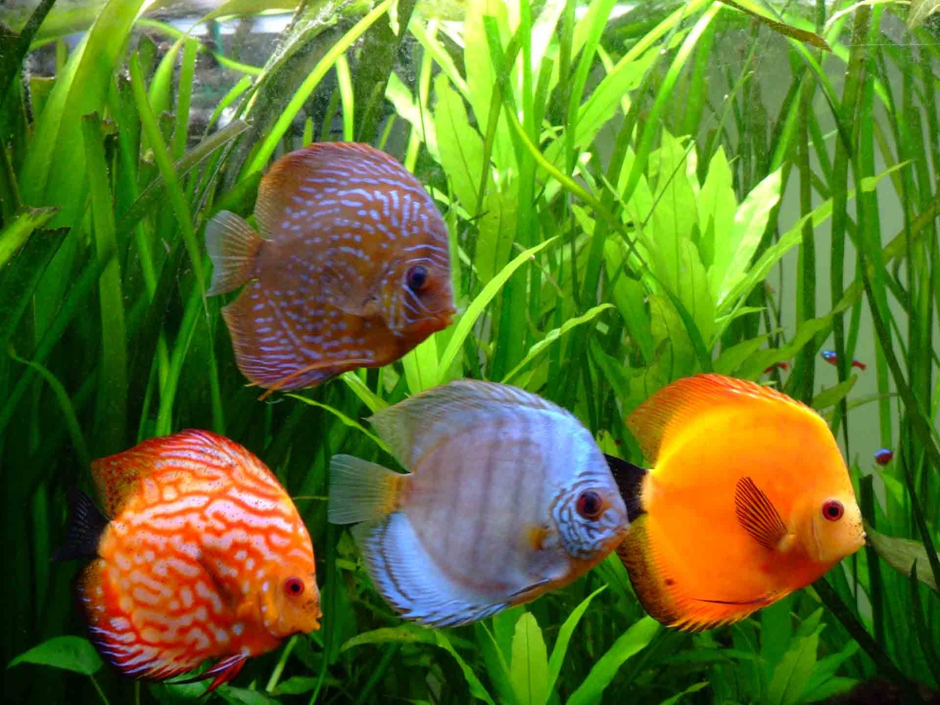 Symphysodon Discus Latest HD Wallpapers Free Download   HD Free .