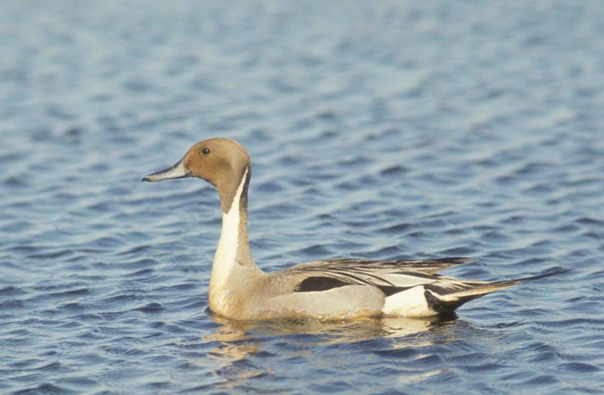 … The Gallerie picture parts of Drake Waterfowl Wallpapers HD Pixels  Talk, we give a suggestion