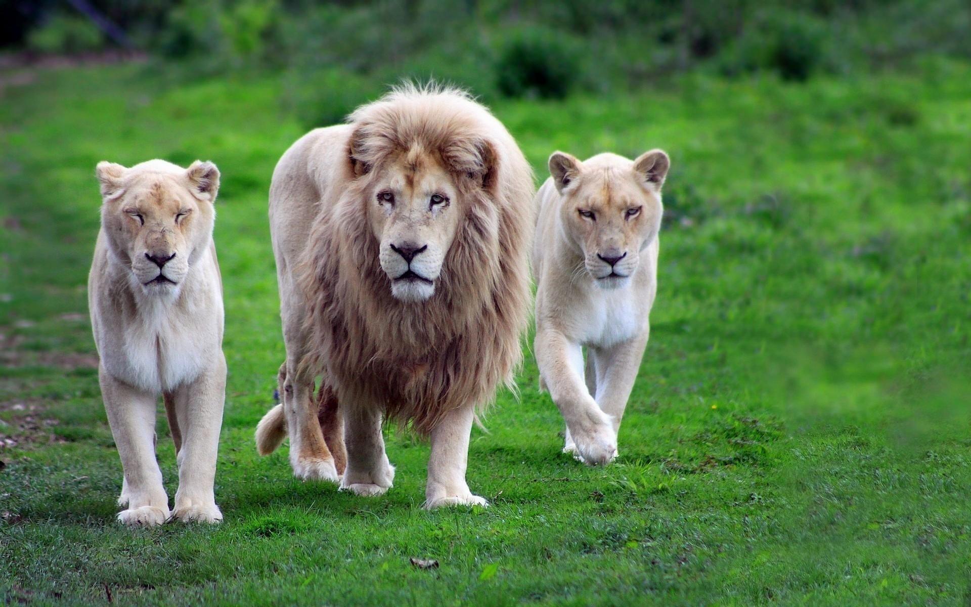 Lion-animals-wallpaper-images-dowload