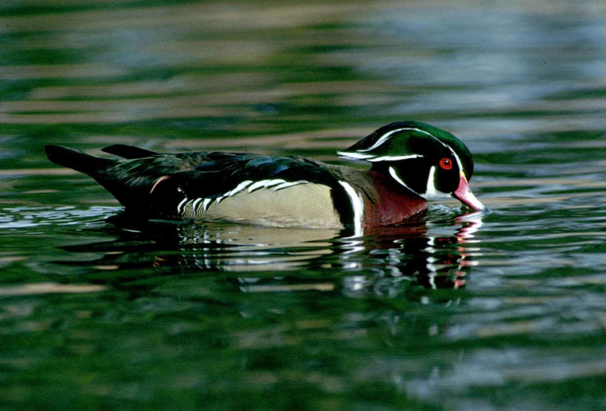 wood, duck, drake, waterfowl, bird, water