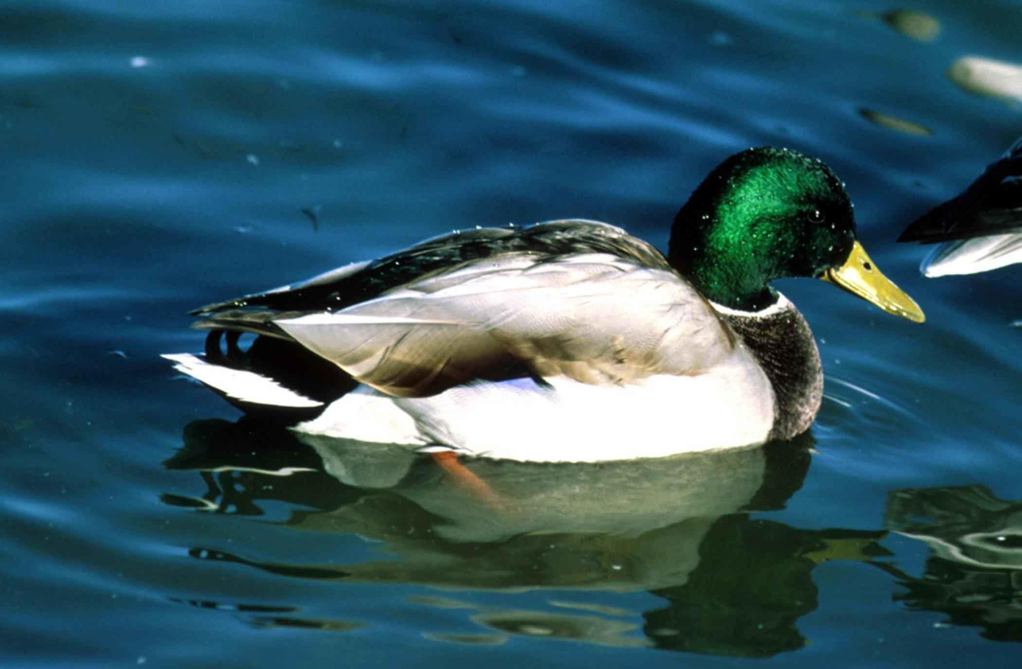 mallard, drake, waterfowl, bird, male, breeding, plumage, anas platyrhynchos