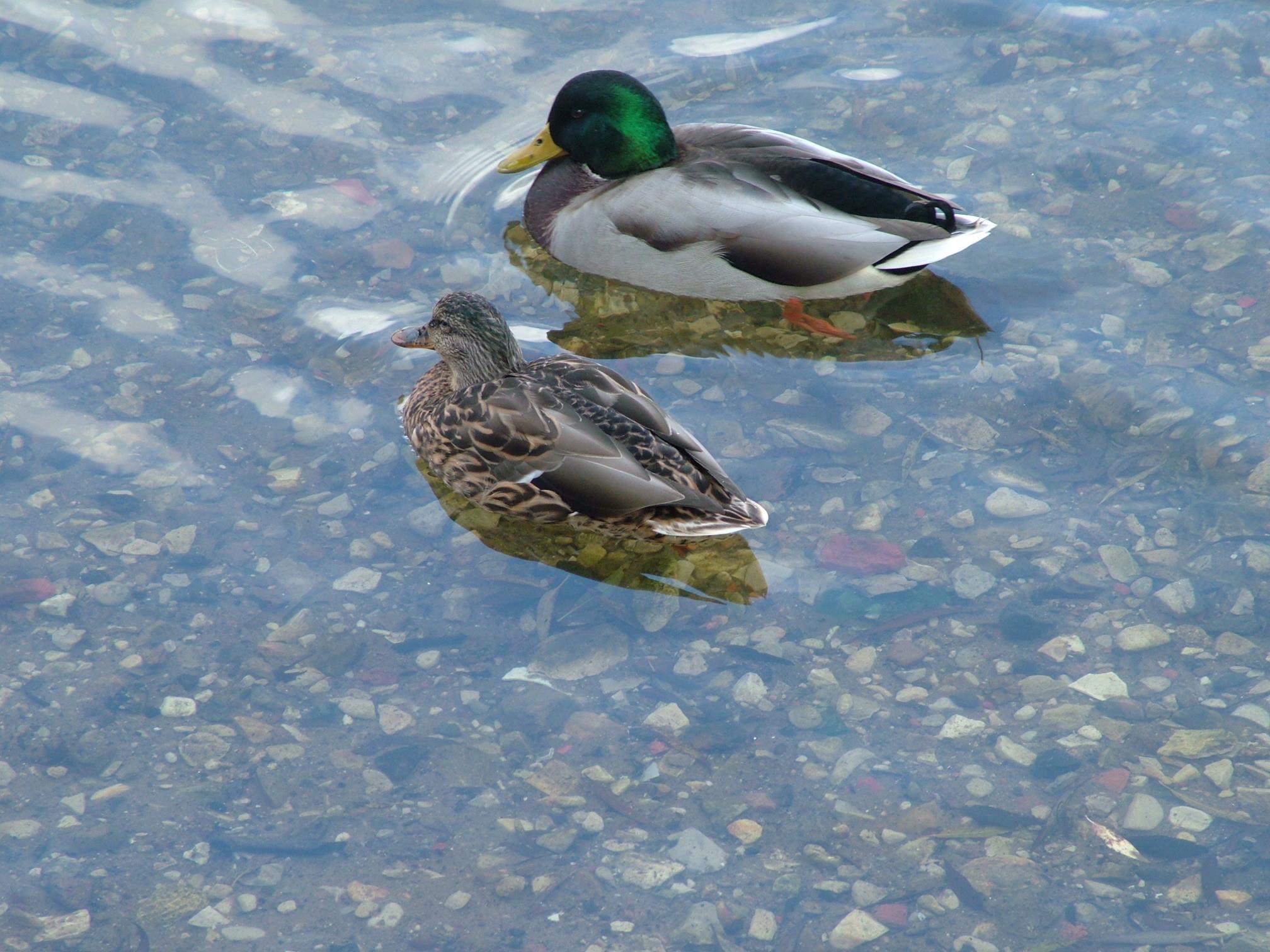 … drake-and-duck.jpg …
