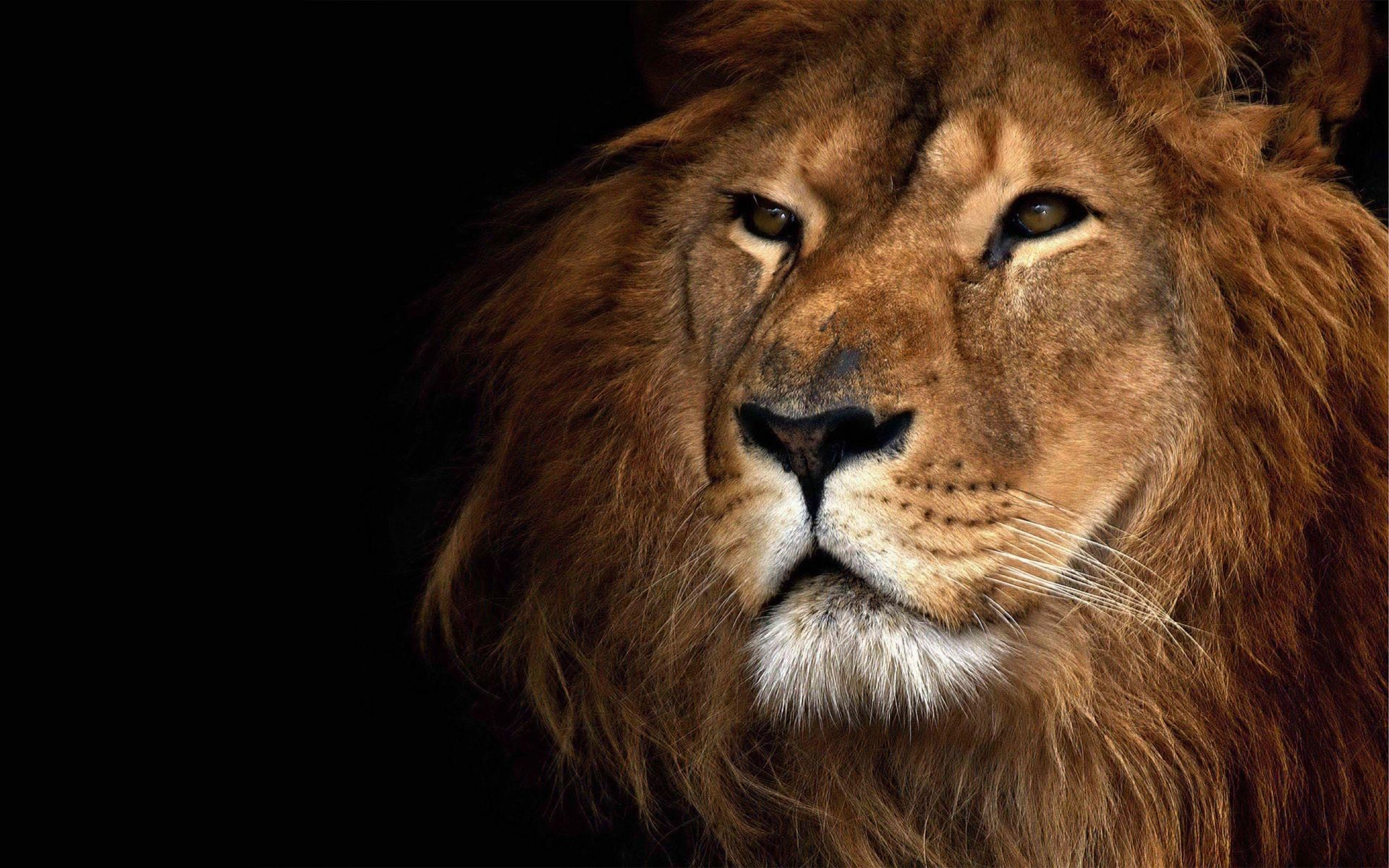 Lion Face Wallpaper | HD Animals and Birds Wallpaper Free Download …