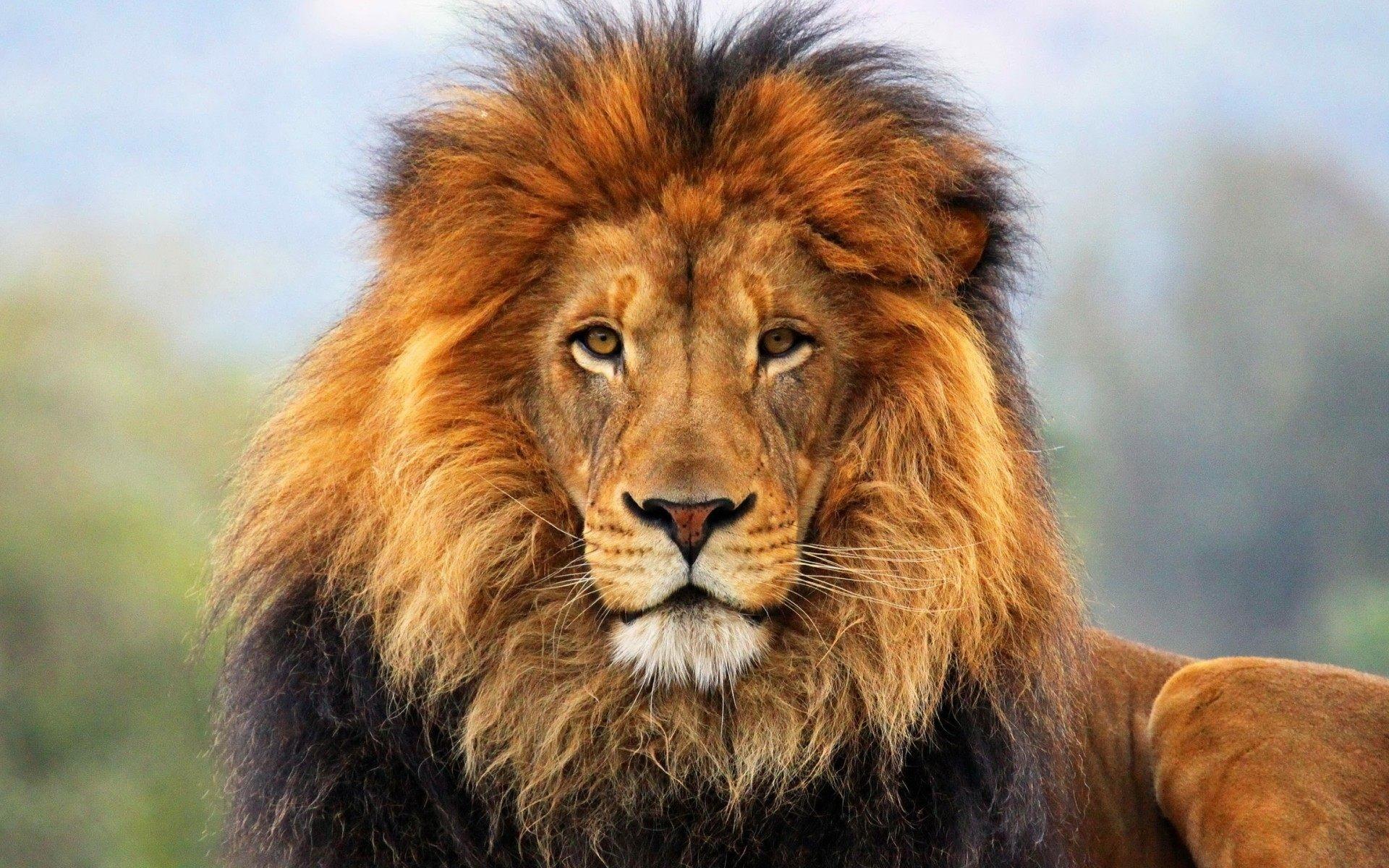 Lion Head Wallpaper