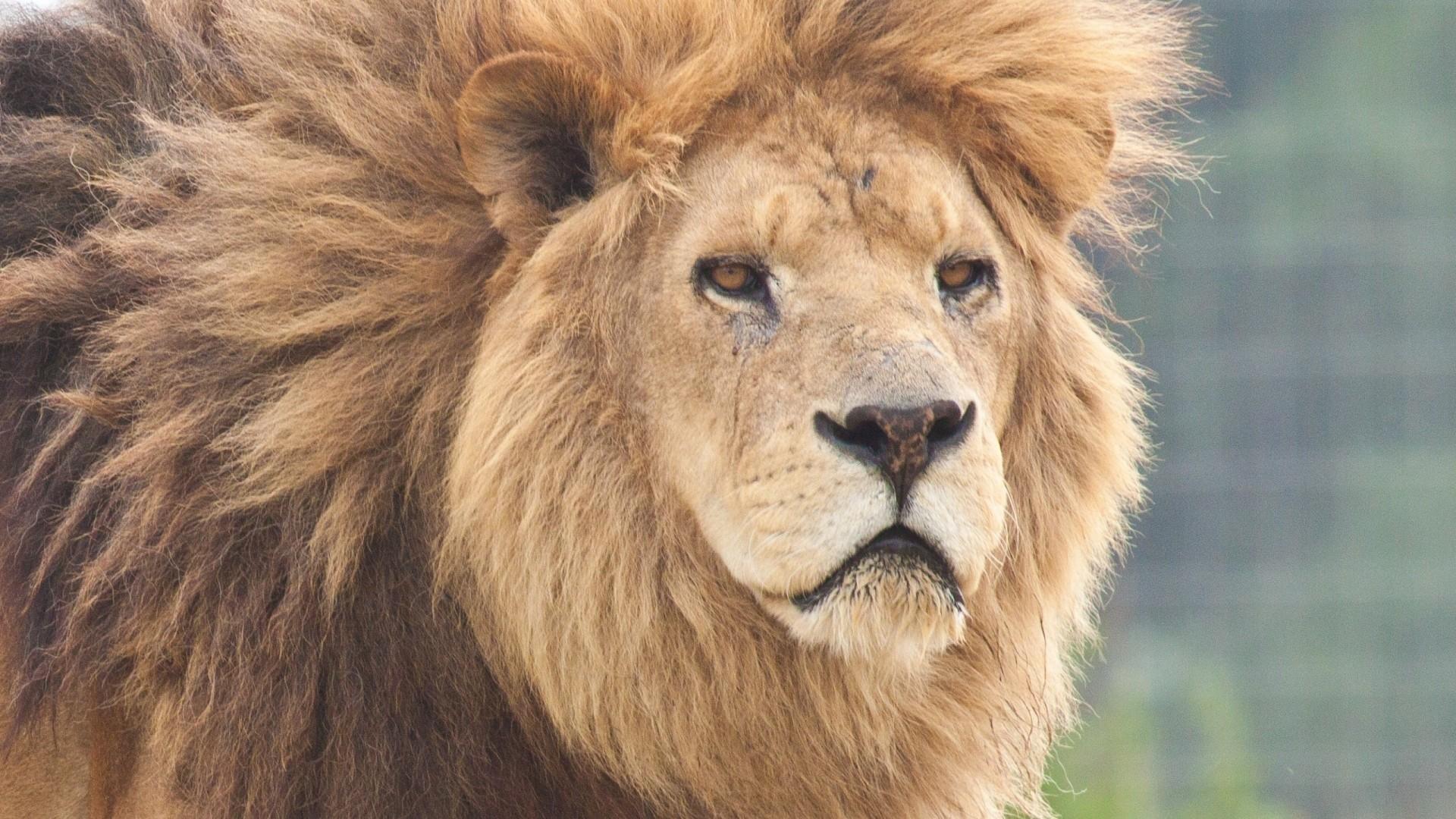 Preview wallpaper lion, face, predator 1920×1080
