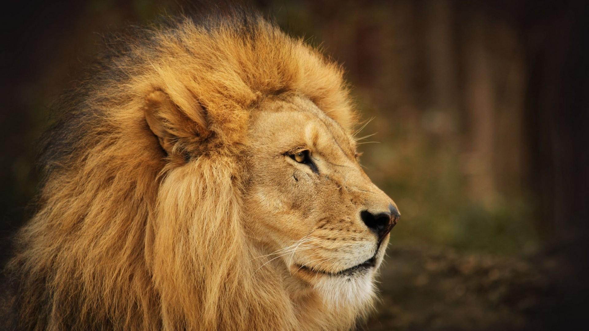 … eye; lion, face, look